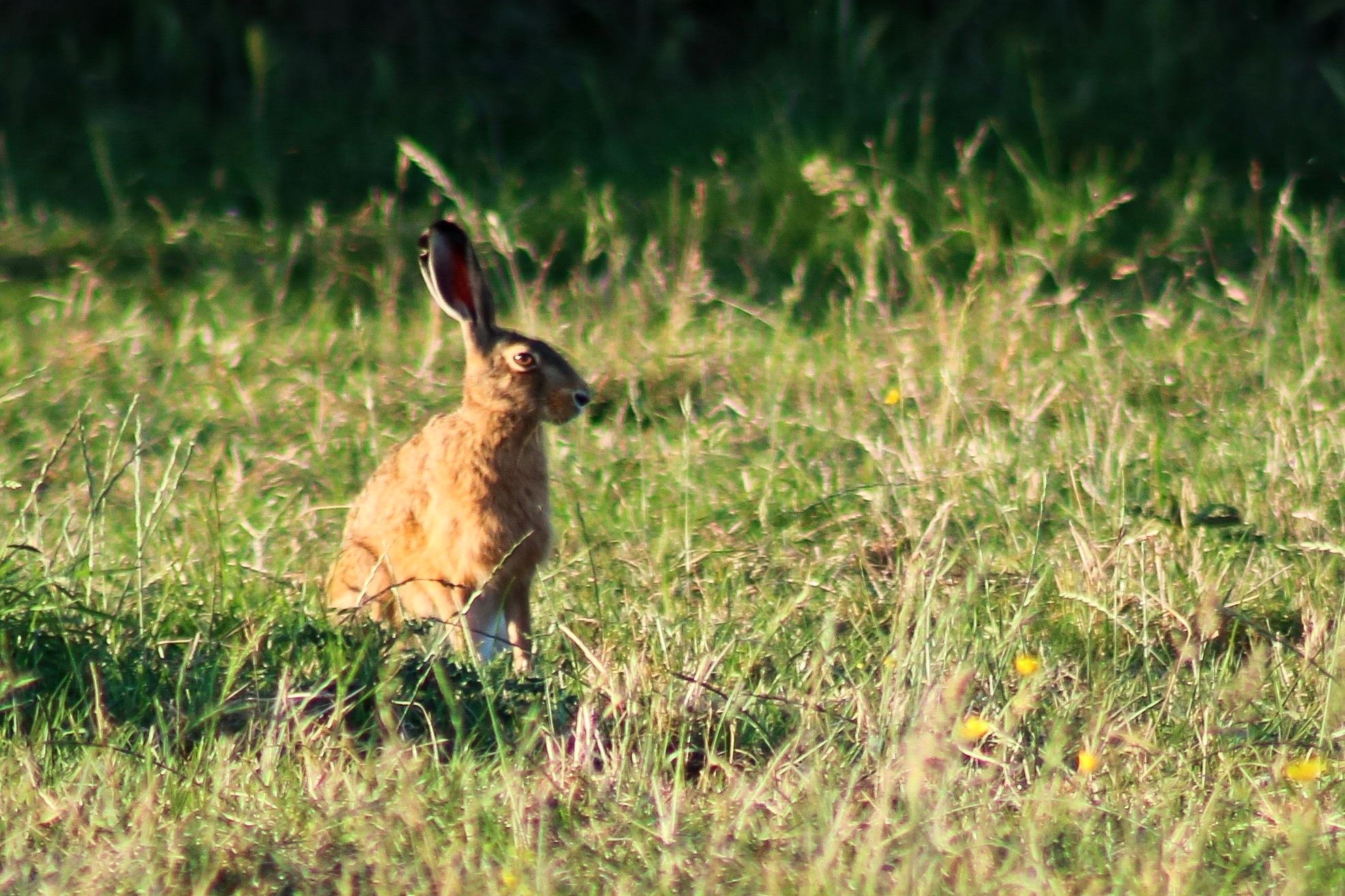 Hare by Ivan Samoshko
