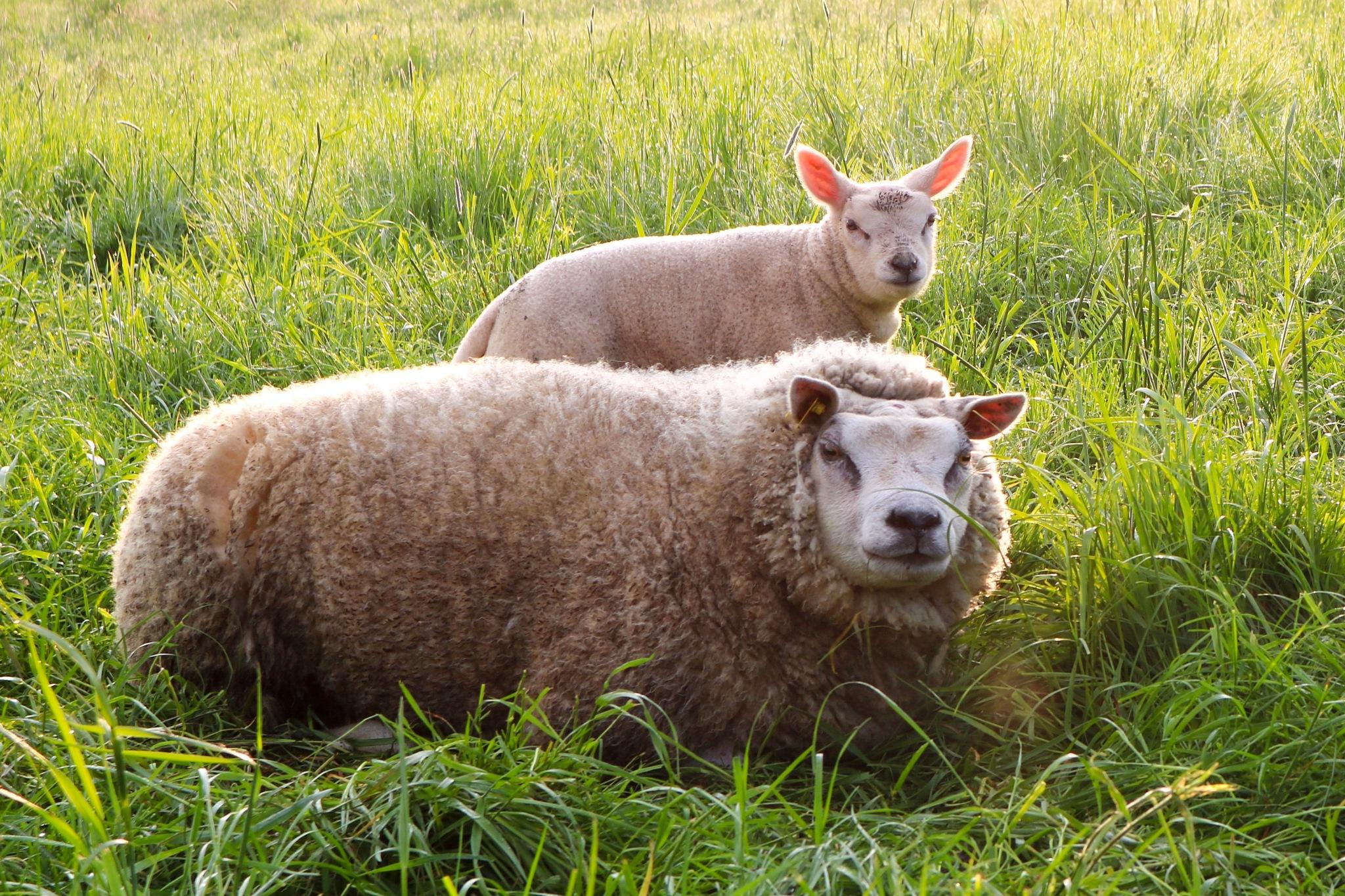 Sheep by Ivan Samoshko