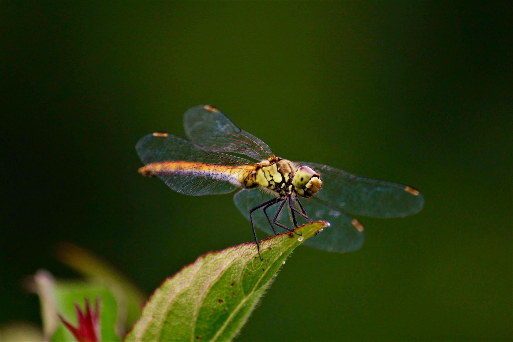 Dragonfly by Sáfrány Mónika