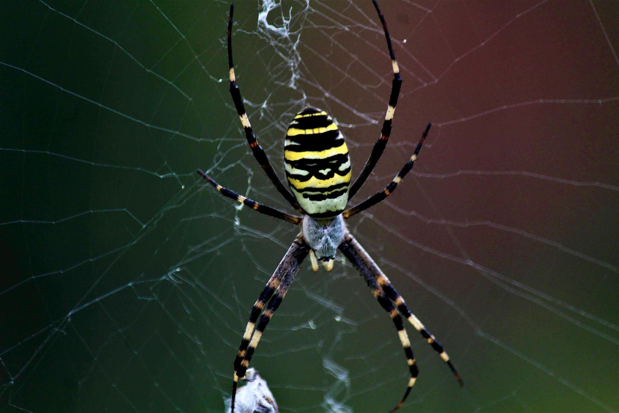Spider by Sáfrány Mónika