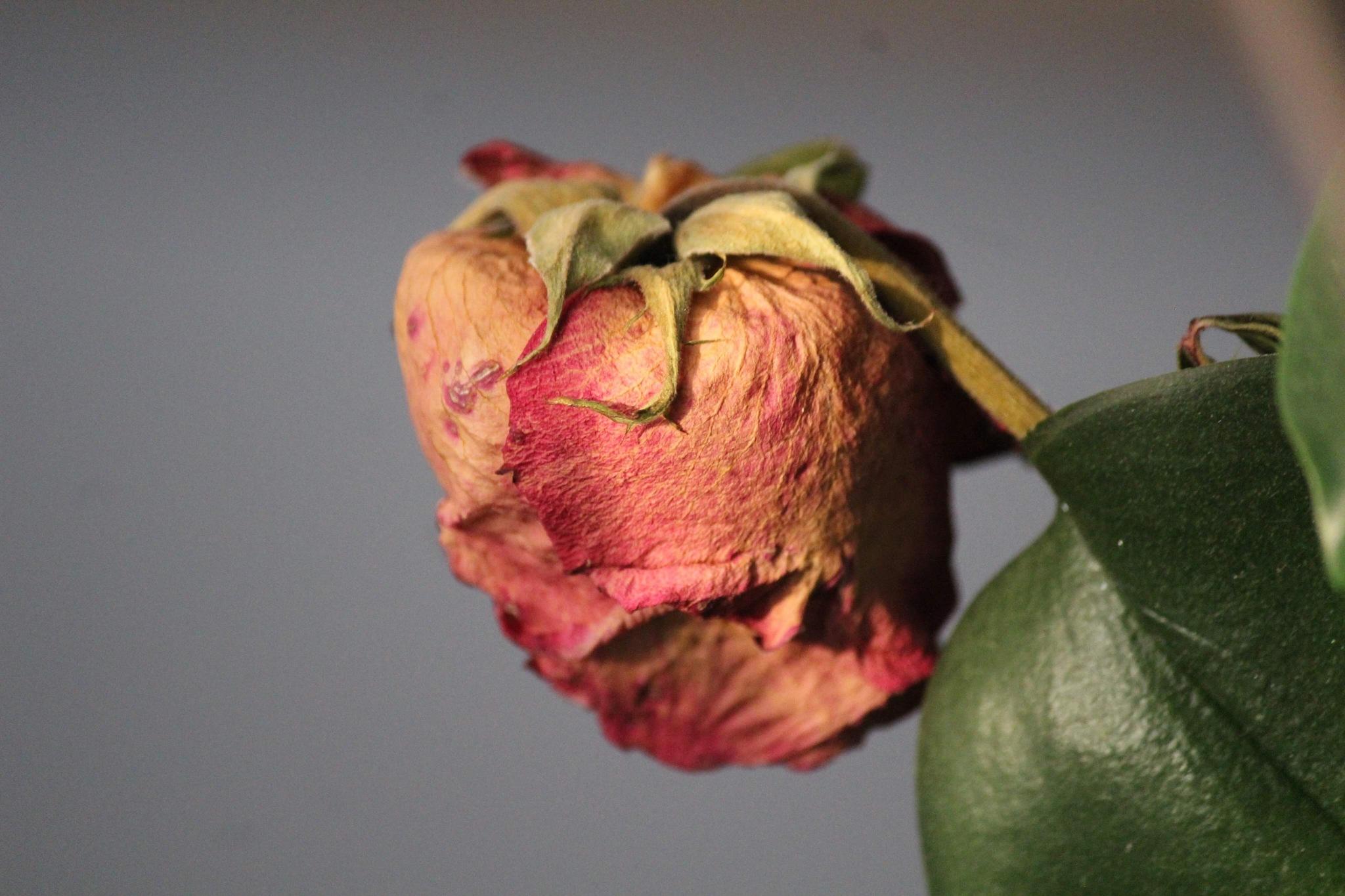 Rose by Sáfrány Mónika