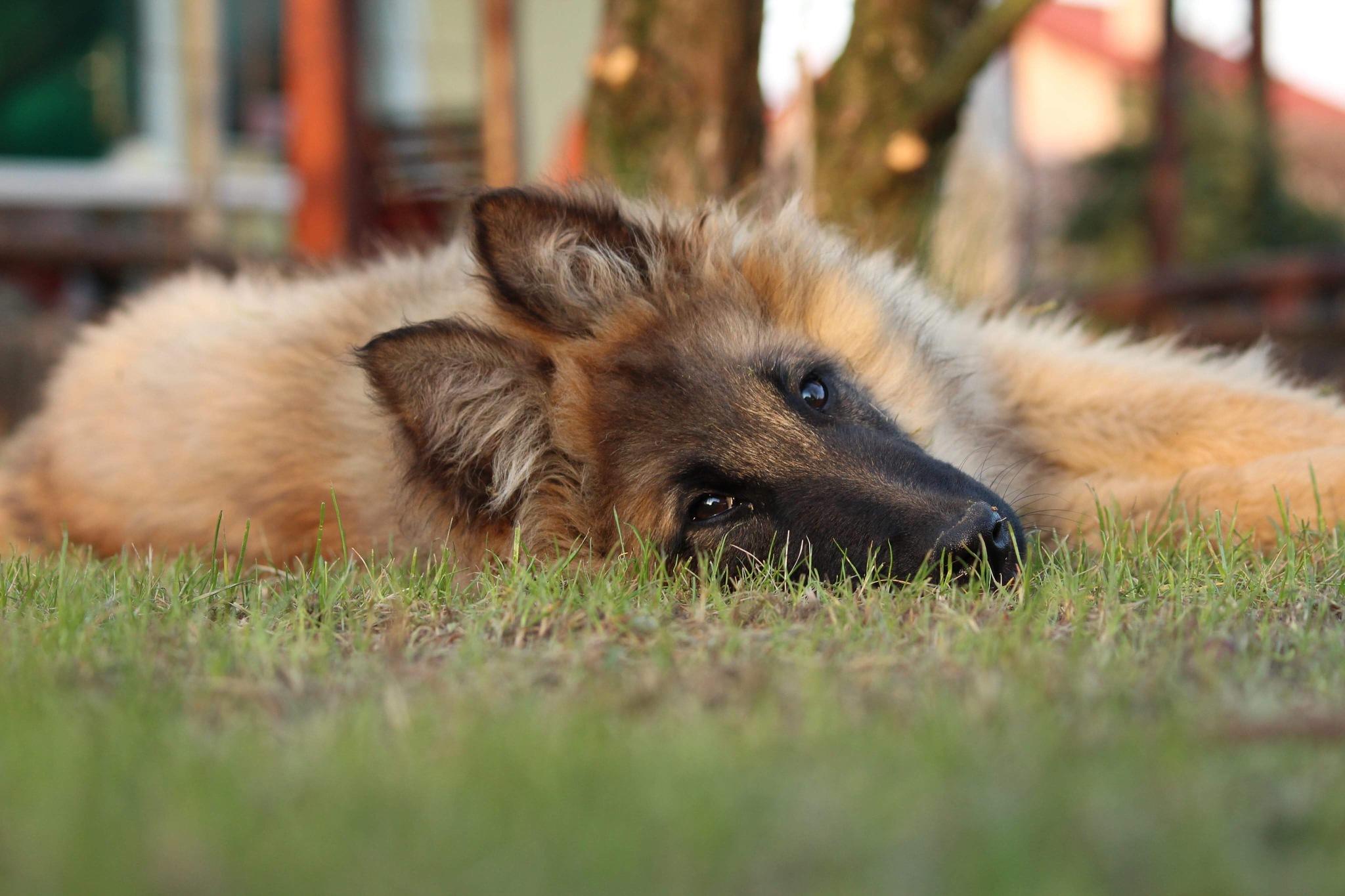 Puppy by Sáfrány Mónika