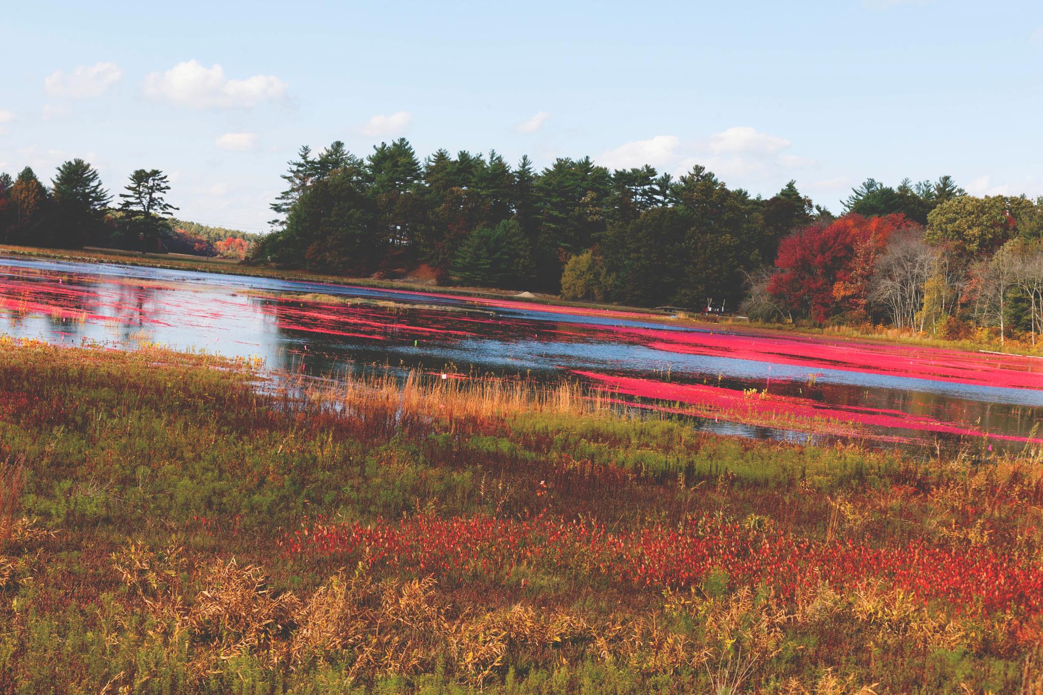 Cranberry bog by Stacy Bogan