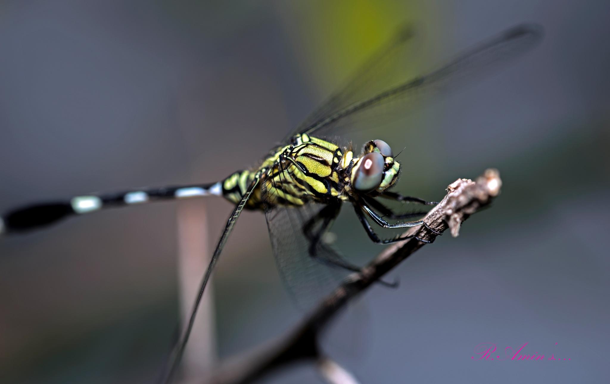 Dragon Fly....  by Md. Ruhul Amin
