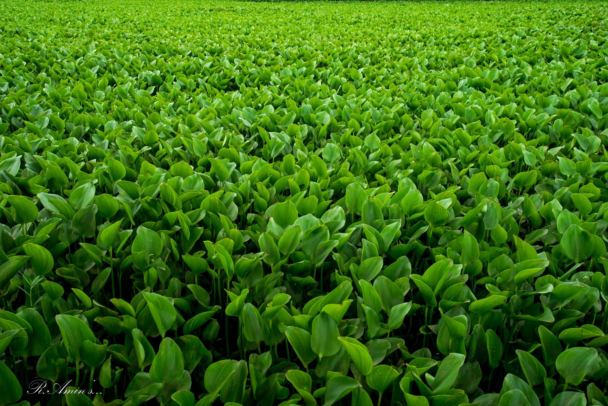 Eichhornia Plant by Md. Ruhul Amin