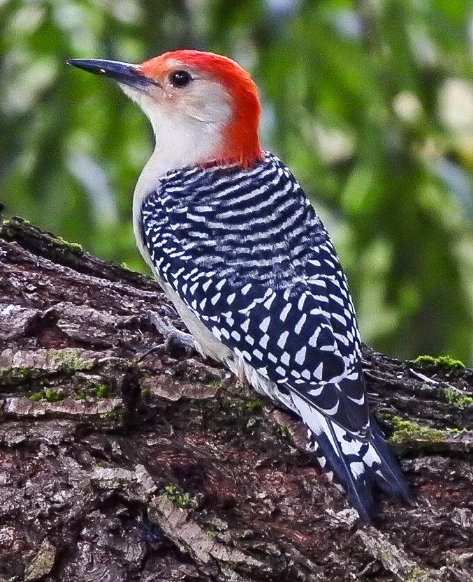 Red  Bellied Woodpecker  by lesshepherd22