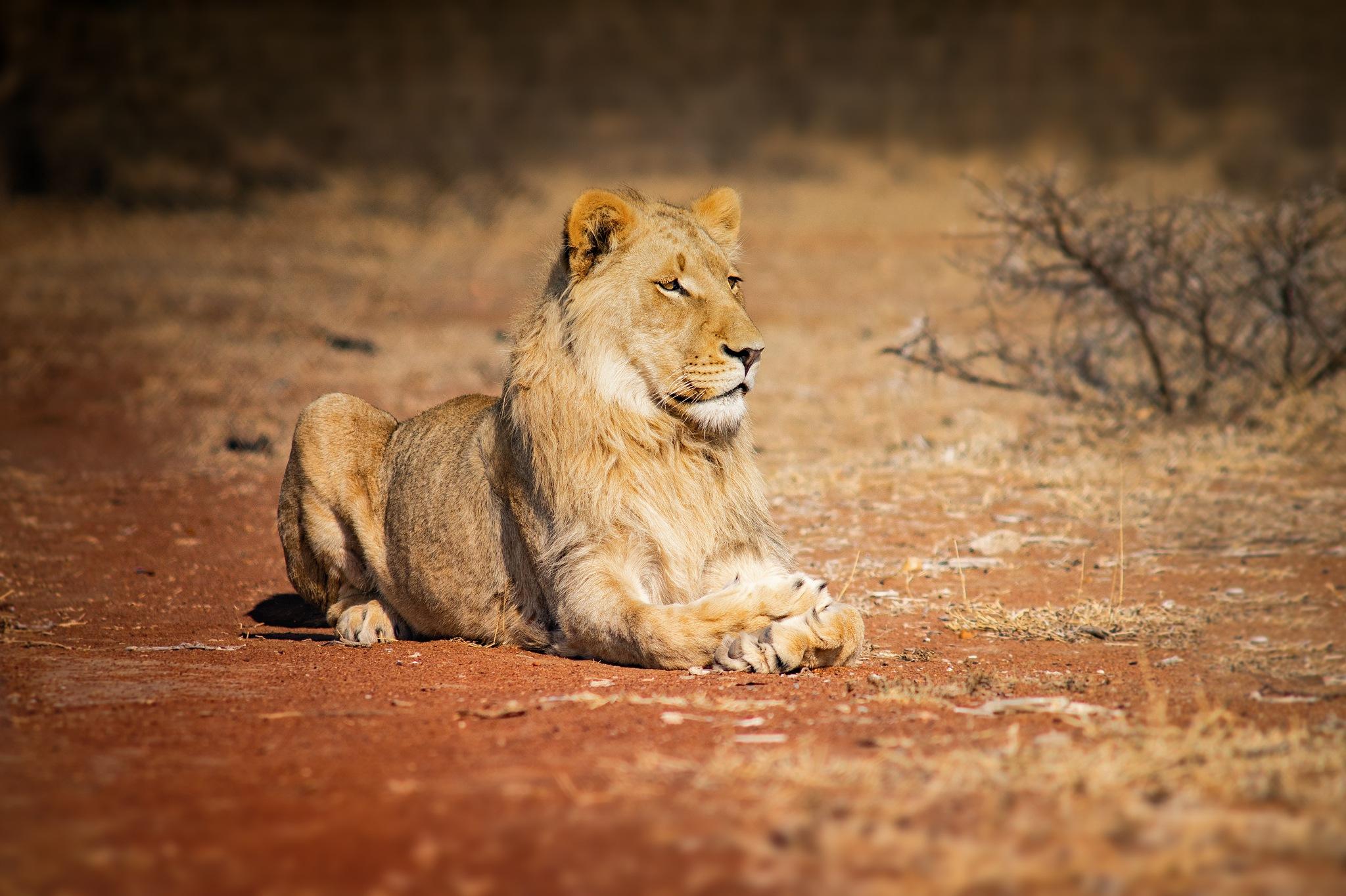 Lions of Polokwane by Bohemian Arrows