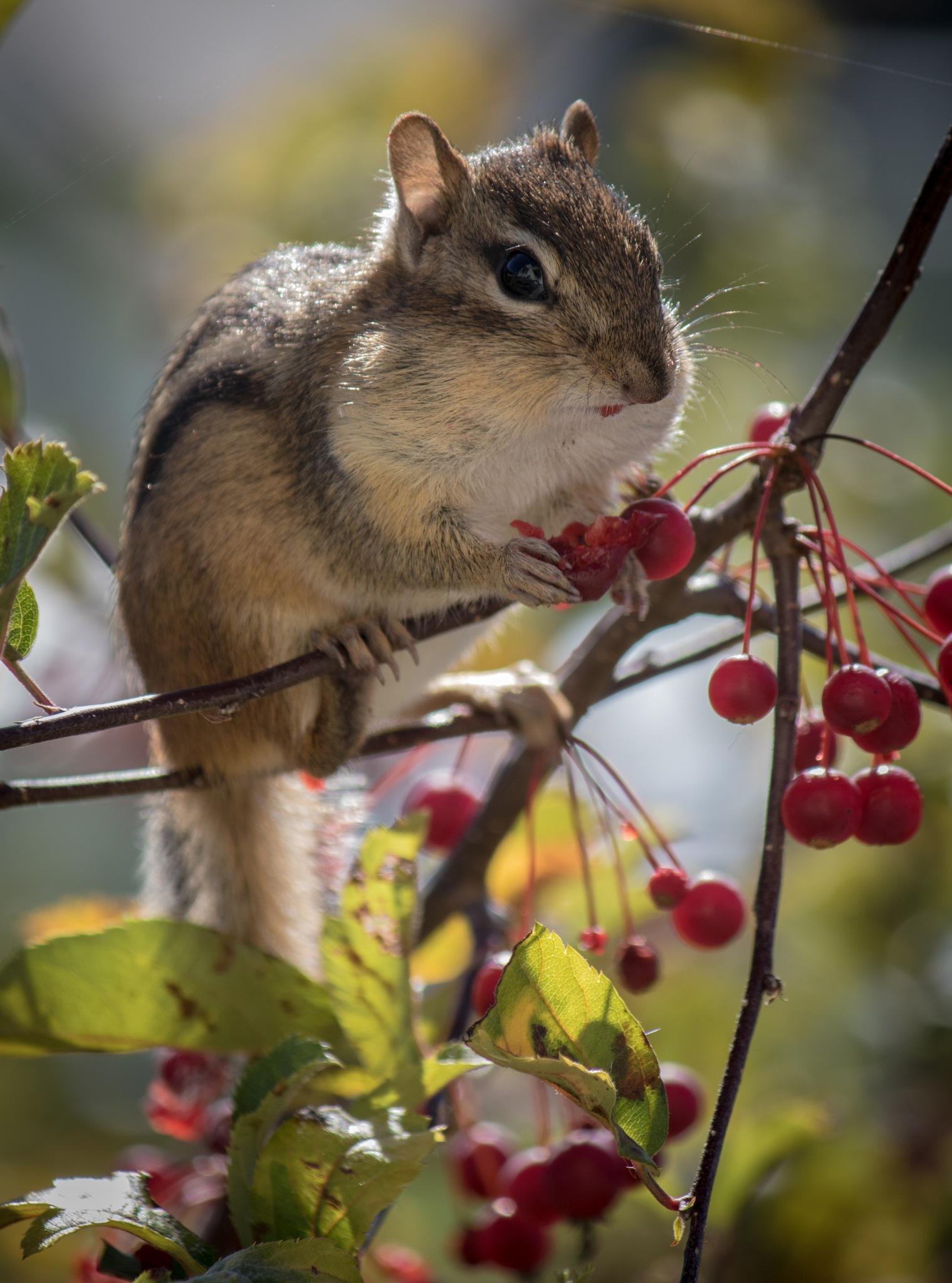 Chipmunk by Patrick Bogan