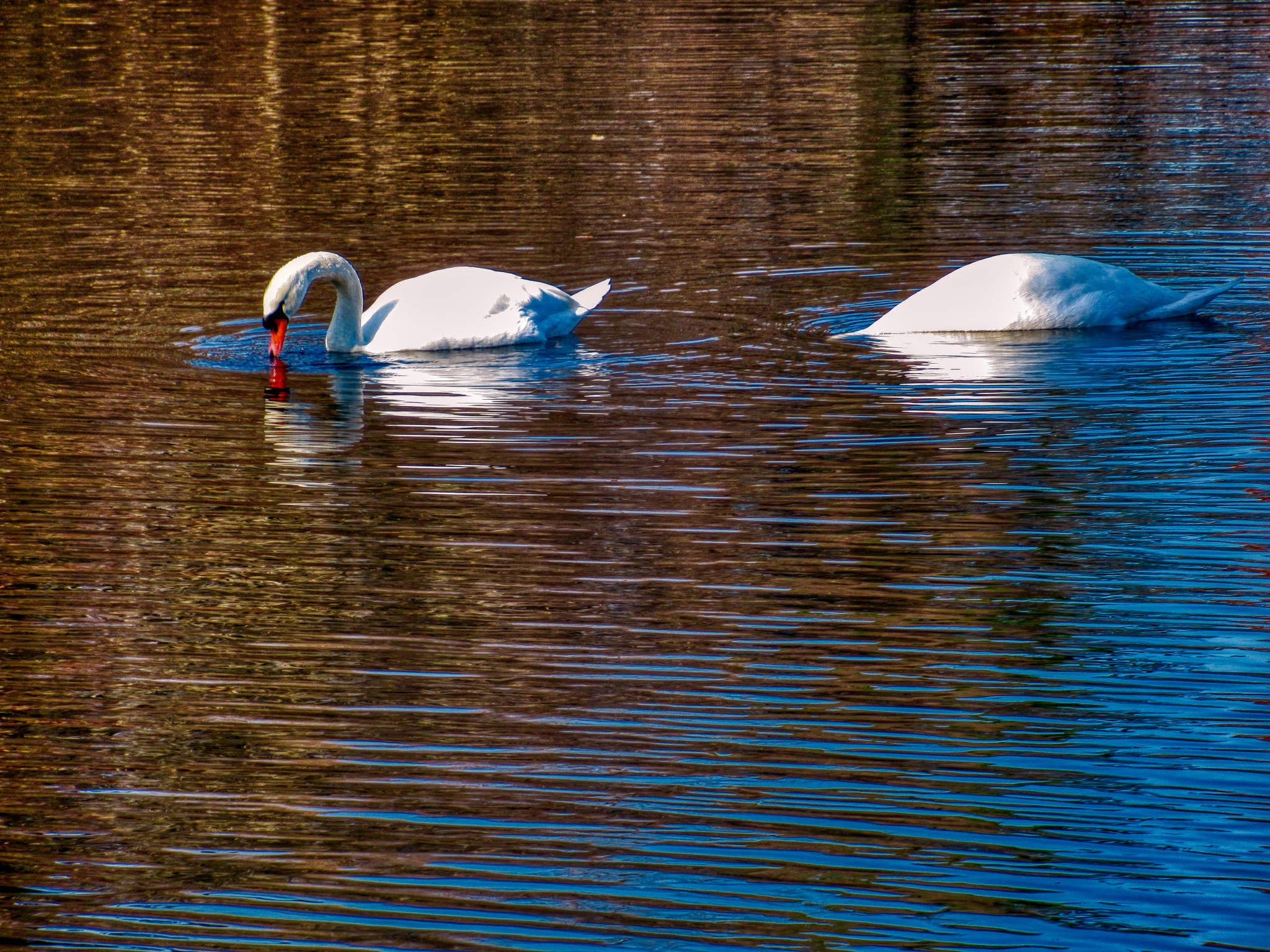 Swans by D. Scott Hufford