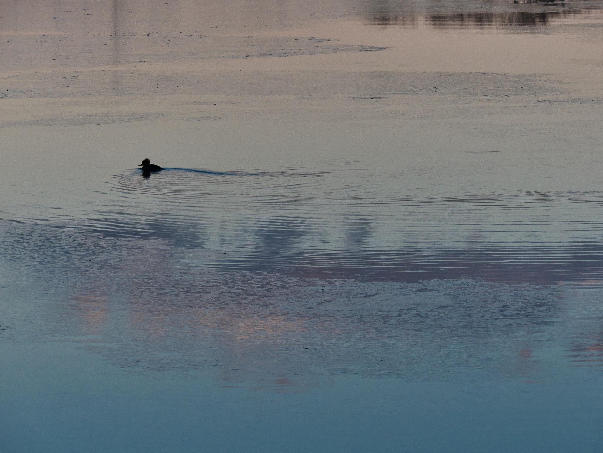 Merganser on the Bass River by D. Scott Hufford
