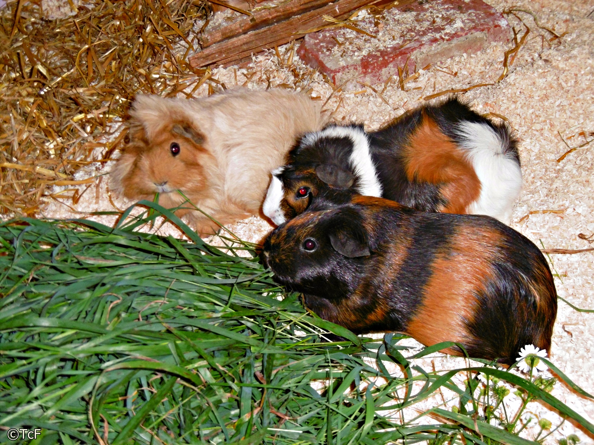 guineapigs by Tanja Christine Fischer