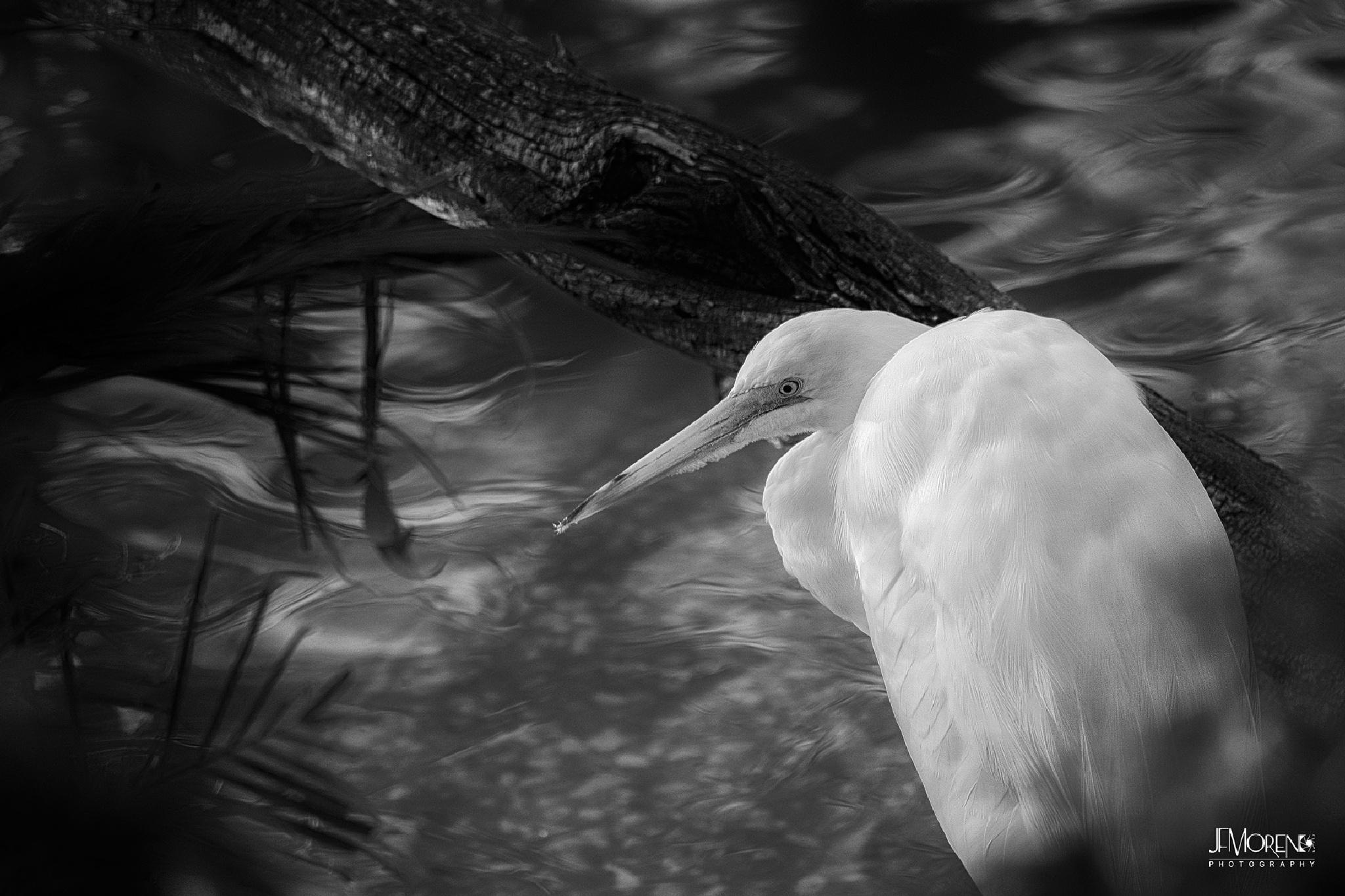 Great Egret by Jesus Moreno