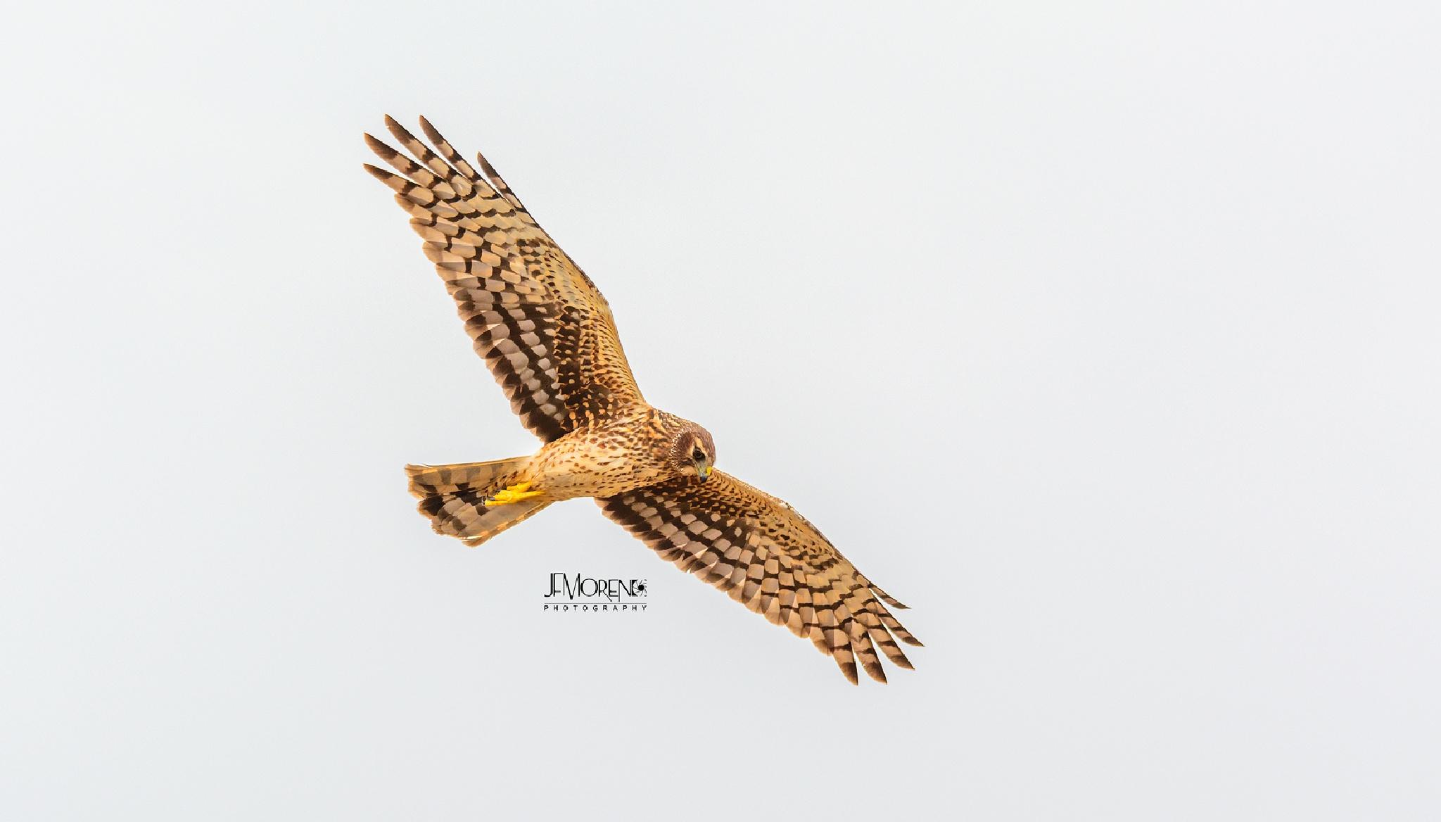 Northern Harrier by Jesus Moreno