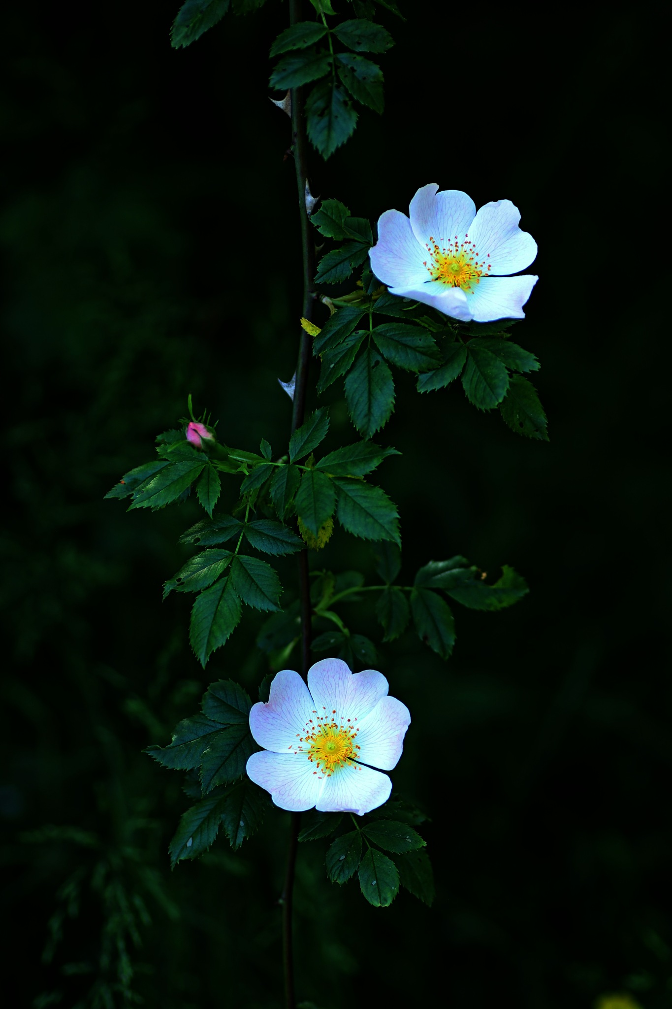 Wild rose   by Christina Törnberg