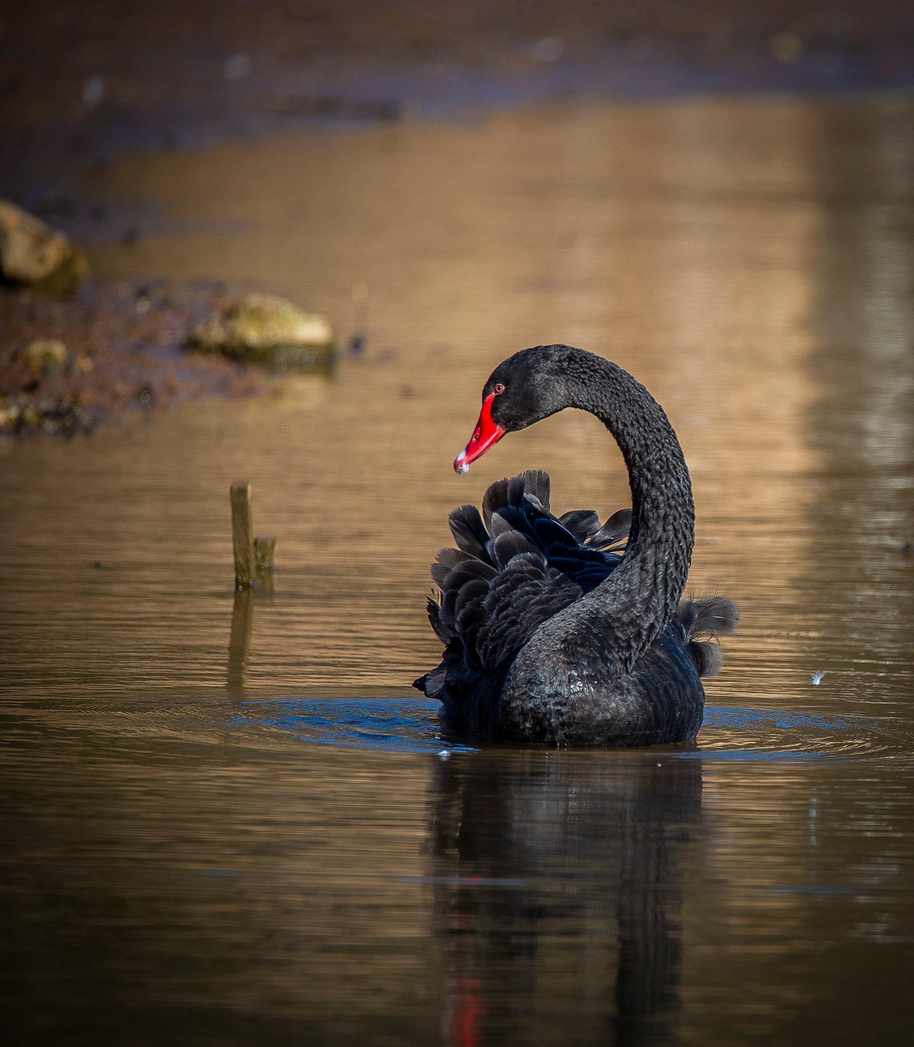 Black Swan by Razorsharp