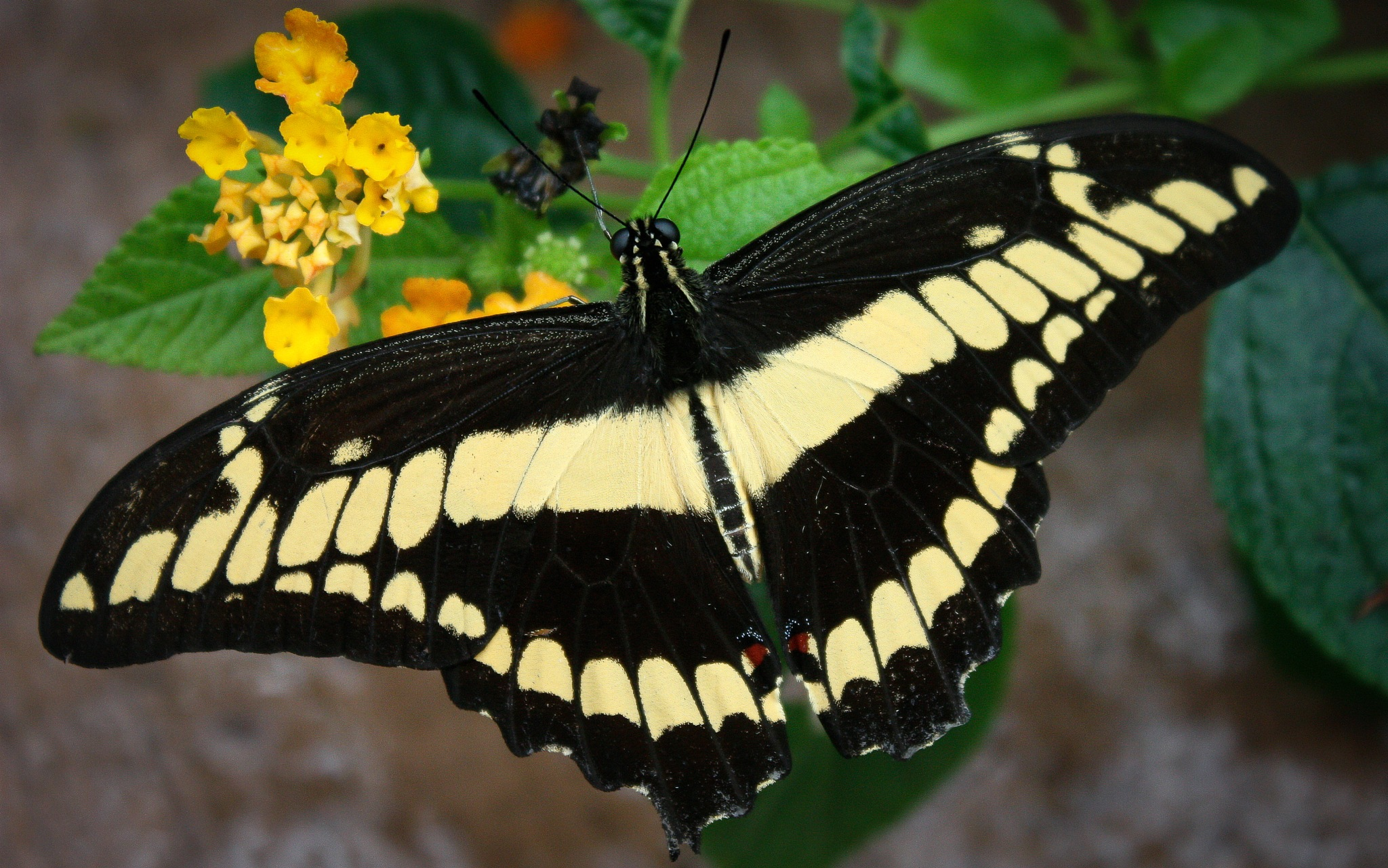 Swallowtail Butterfly by Rose McClure