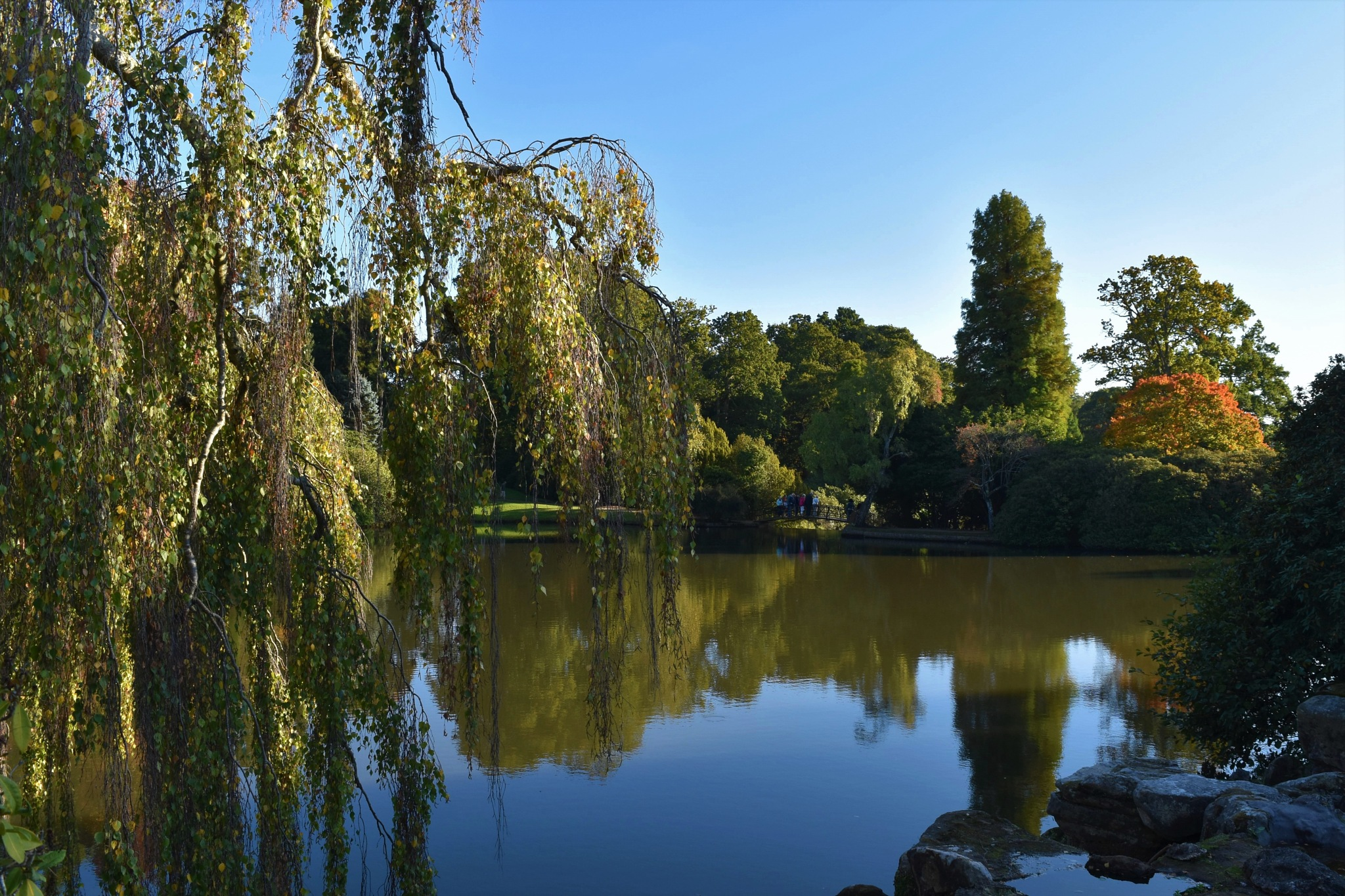 Willow and pond by Andrew Chalmers