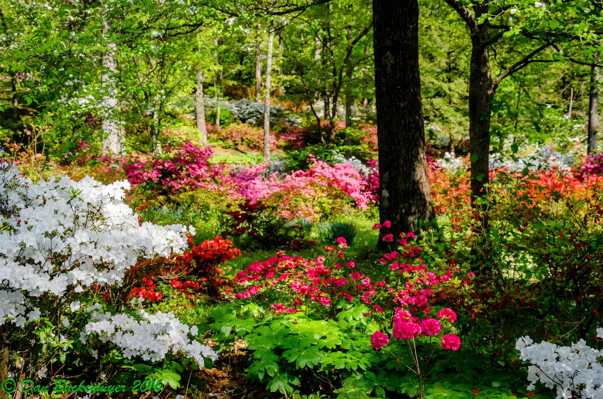 Pinecrest Azalea Gardens by Dan Buckenmyer