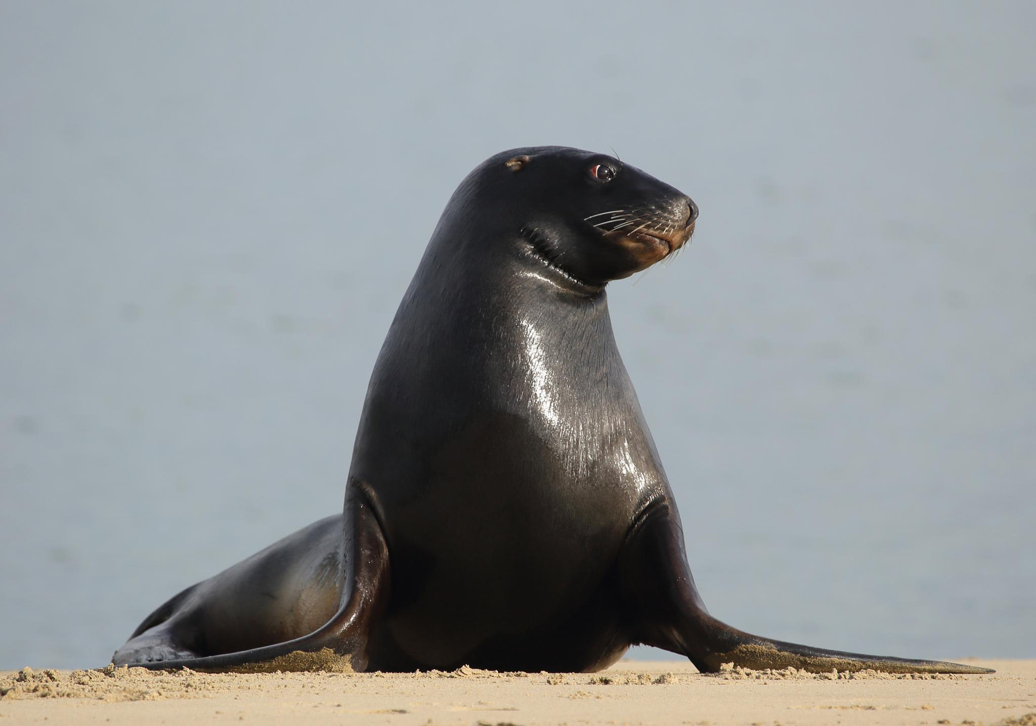 Fur Seal by Greig Howell