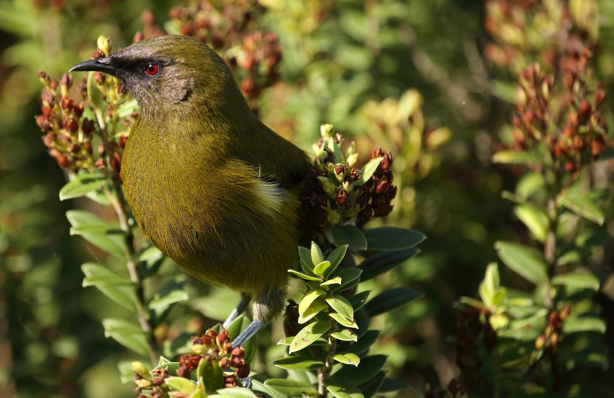 Bell Bird by Greig Howell