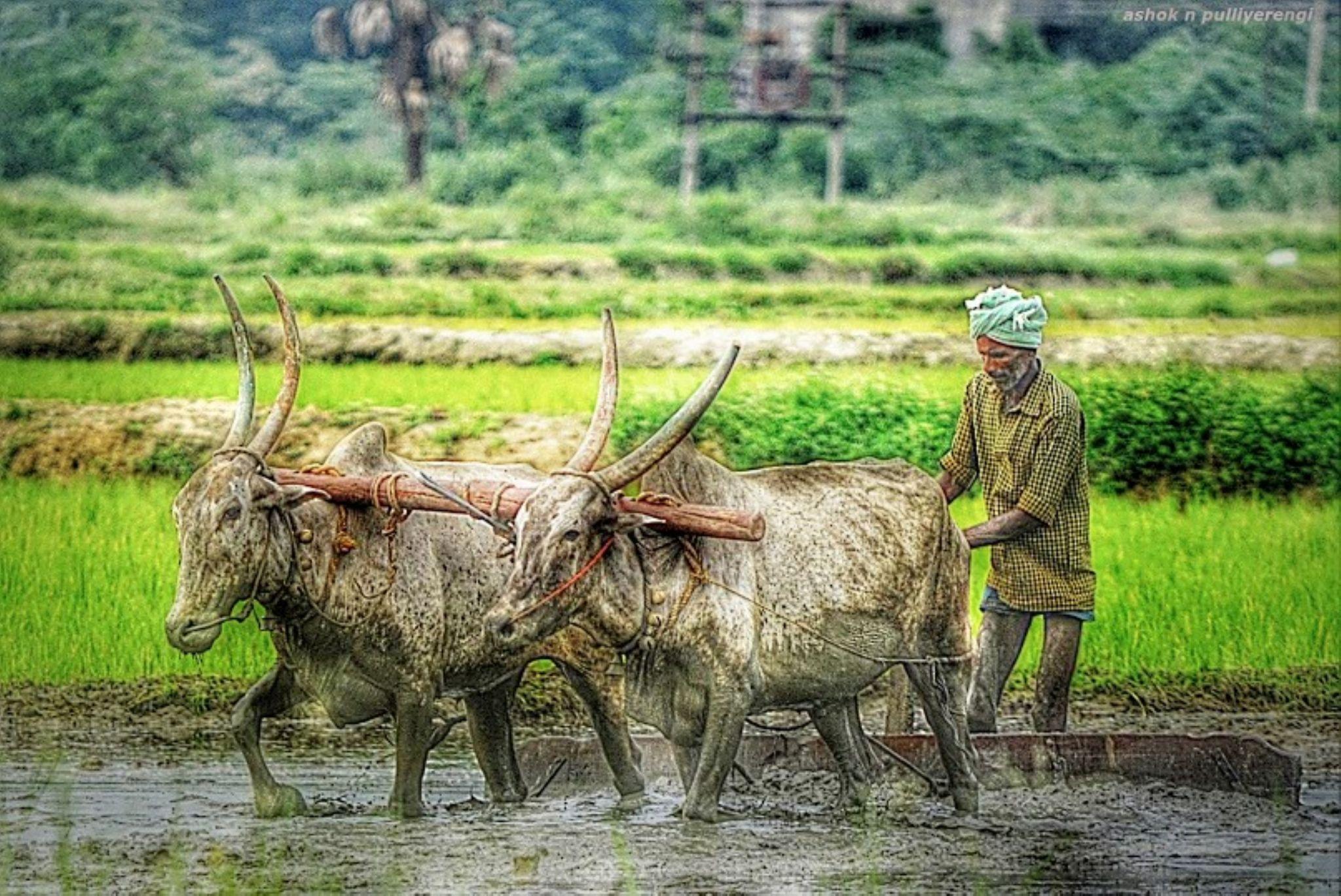 lifeline- sustainable agriculture by Ashok n Pulliyerengi