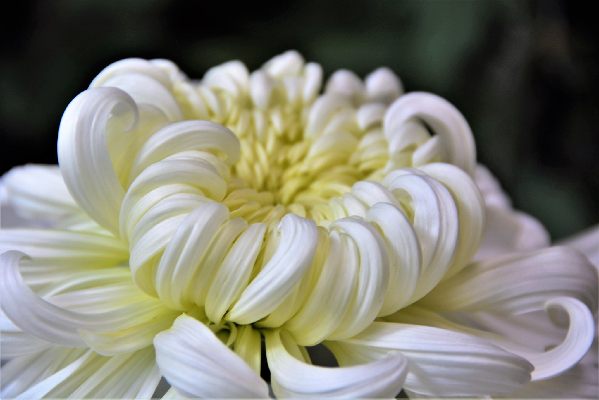 Chrysanthemum by Sharon C