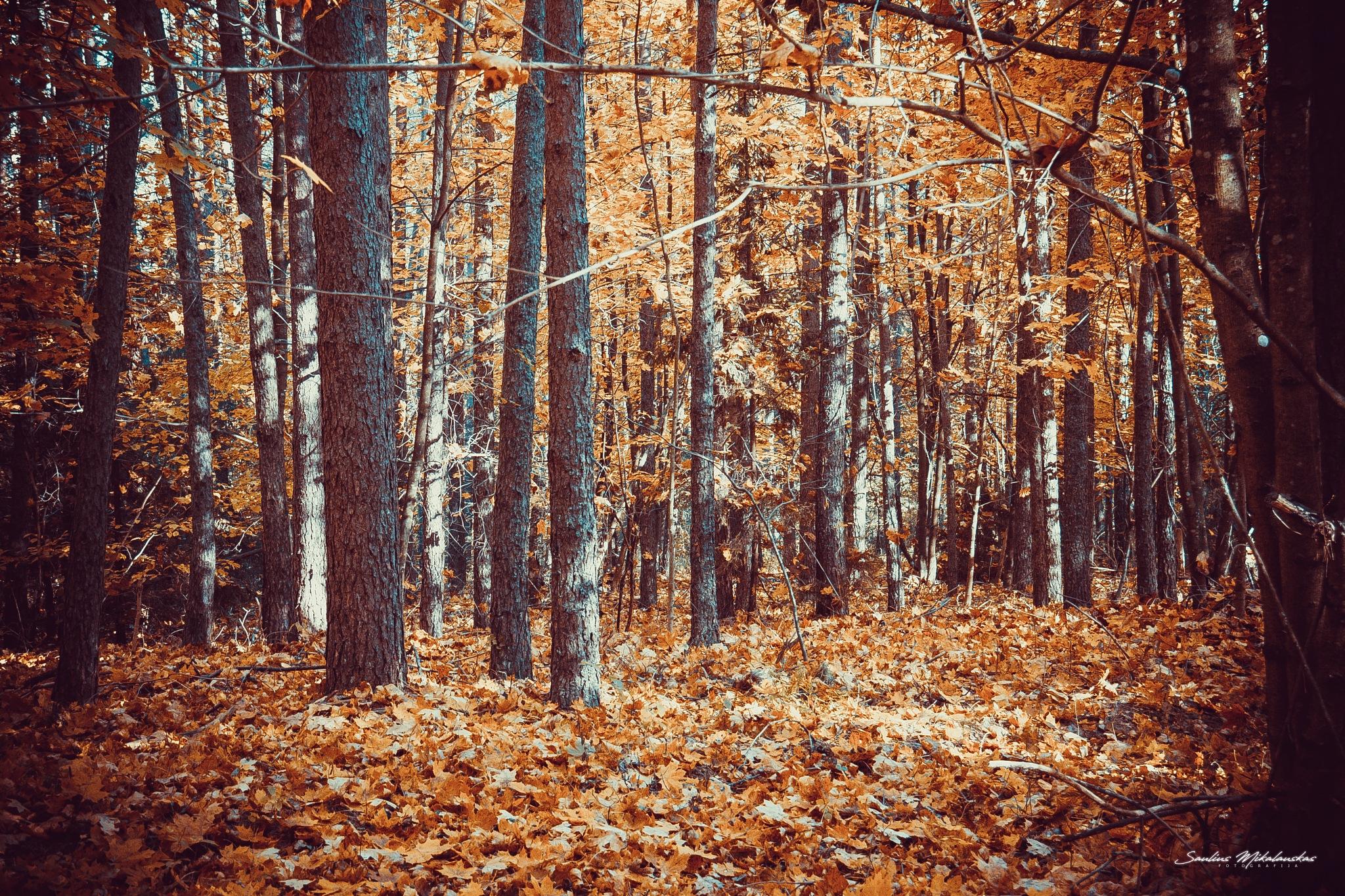 Autumn forest by Saulius Mikalauskas