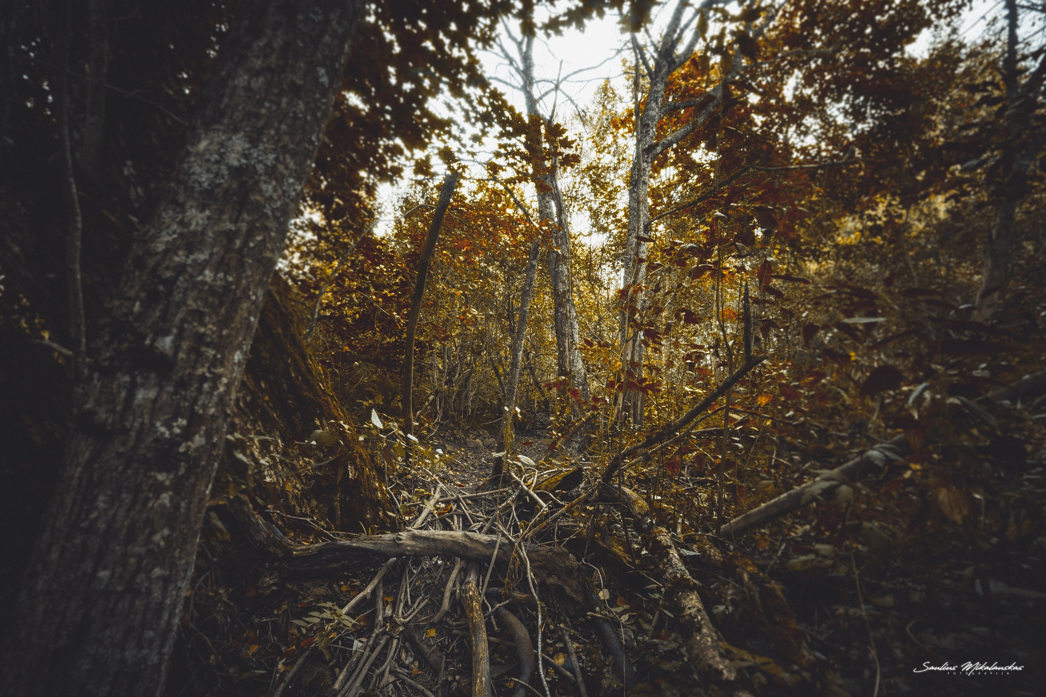 Forest by Saulius Mikalauskas