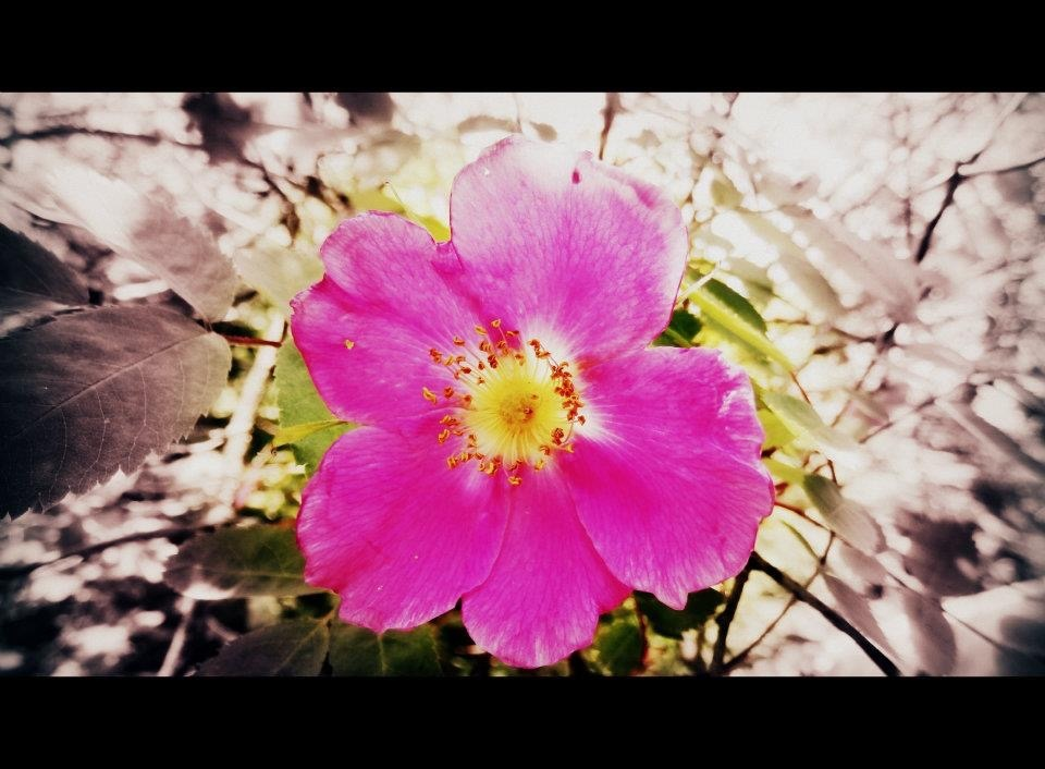 Rosehip by Hanne