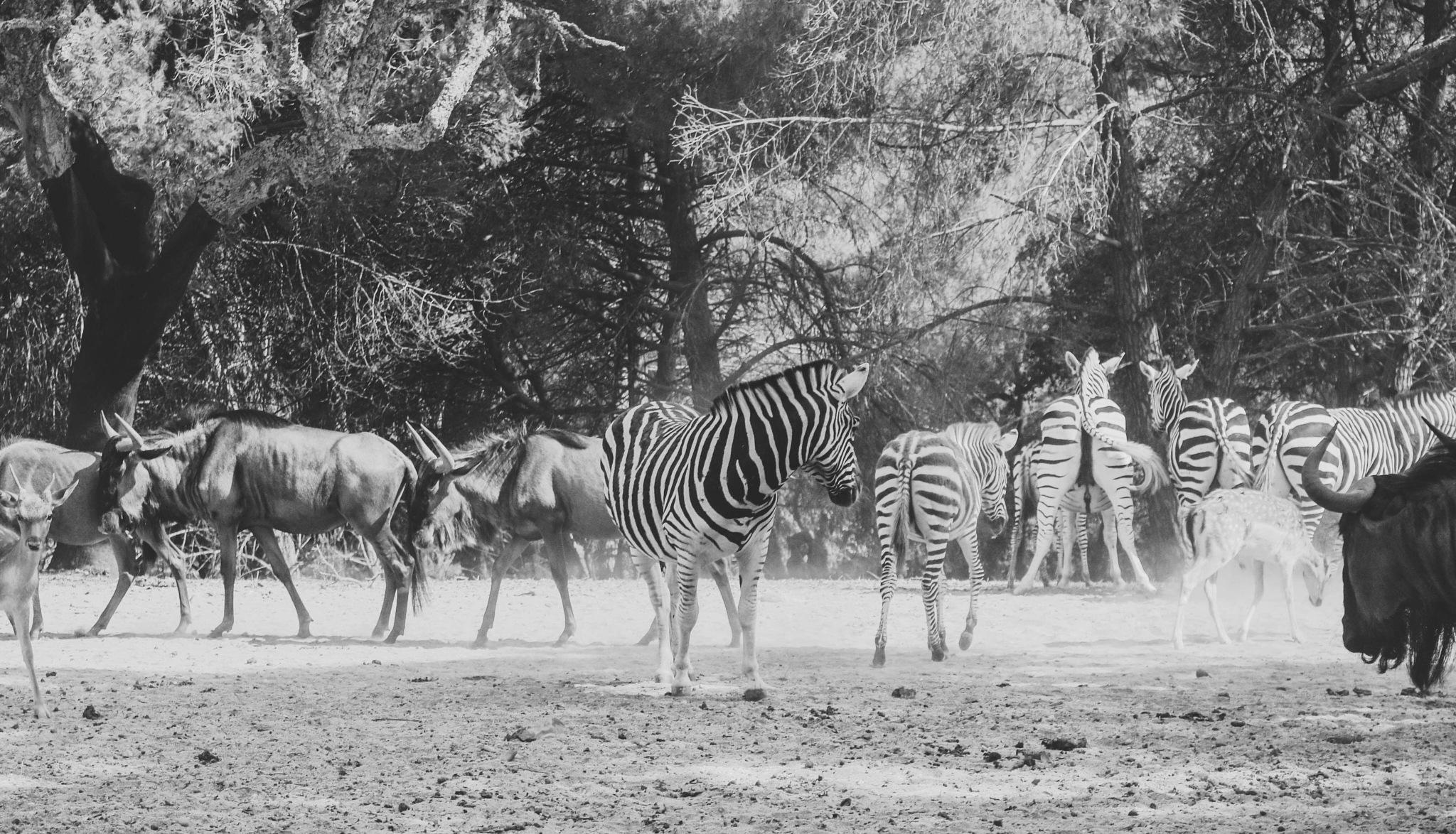 Photo in Black and White #zebra #black&white #safari #portugal #animal