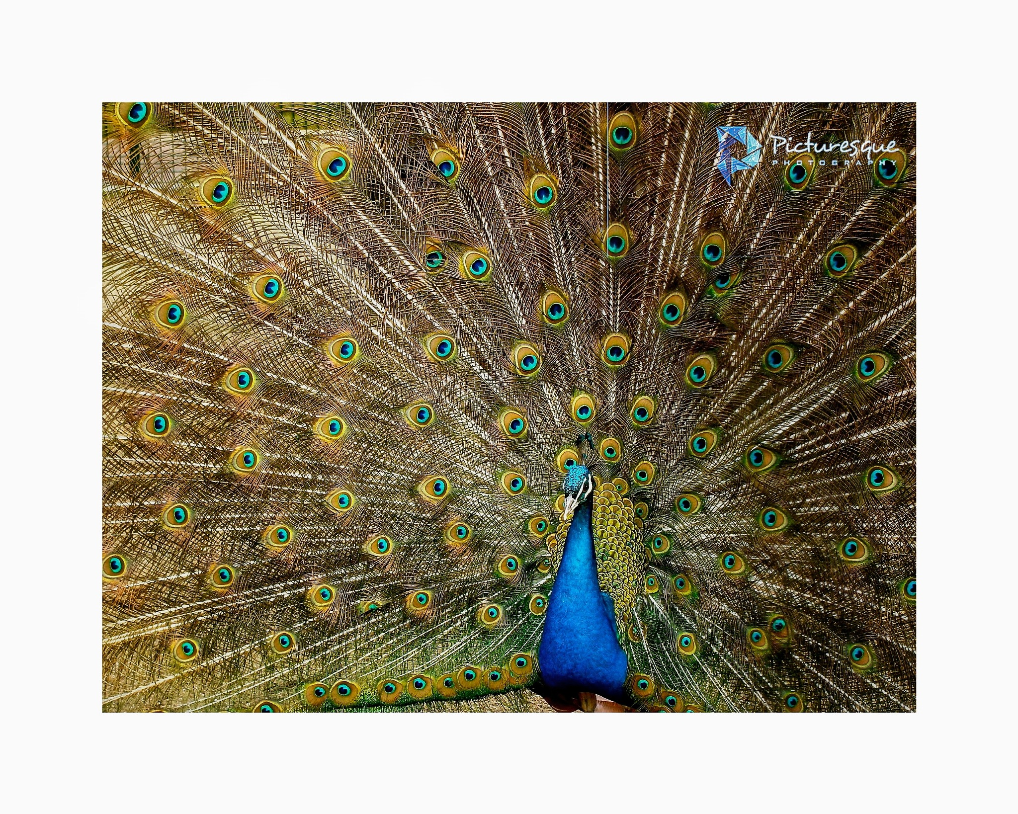 Peacock by RISHABH DEEP