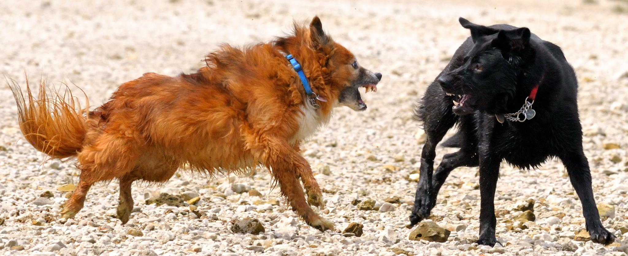 Best of Friends two dogs playing by John Bociek