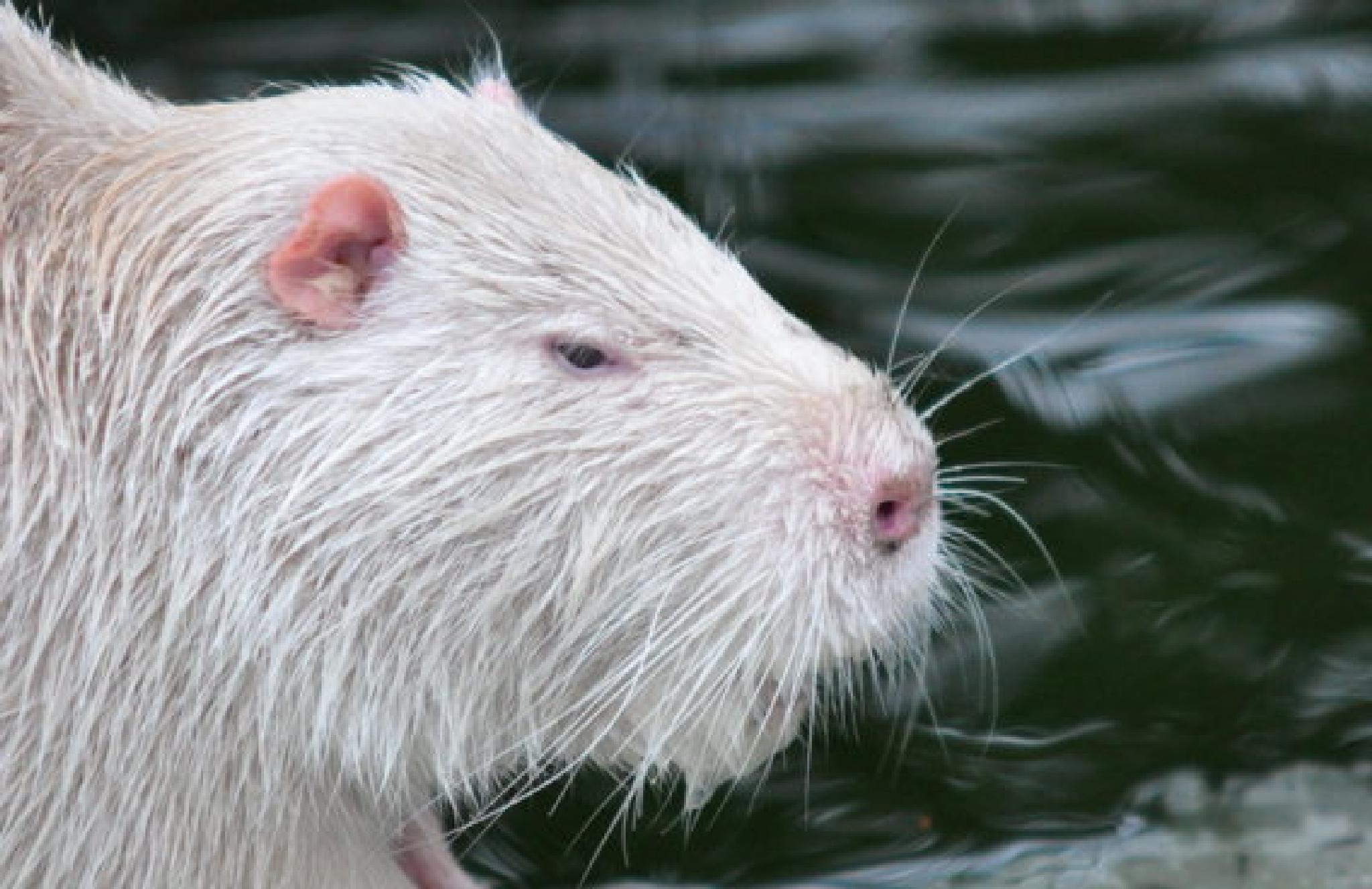 Photo in Animal #coypu #albino #ragondan