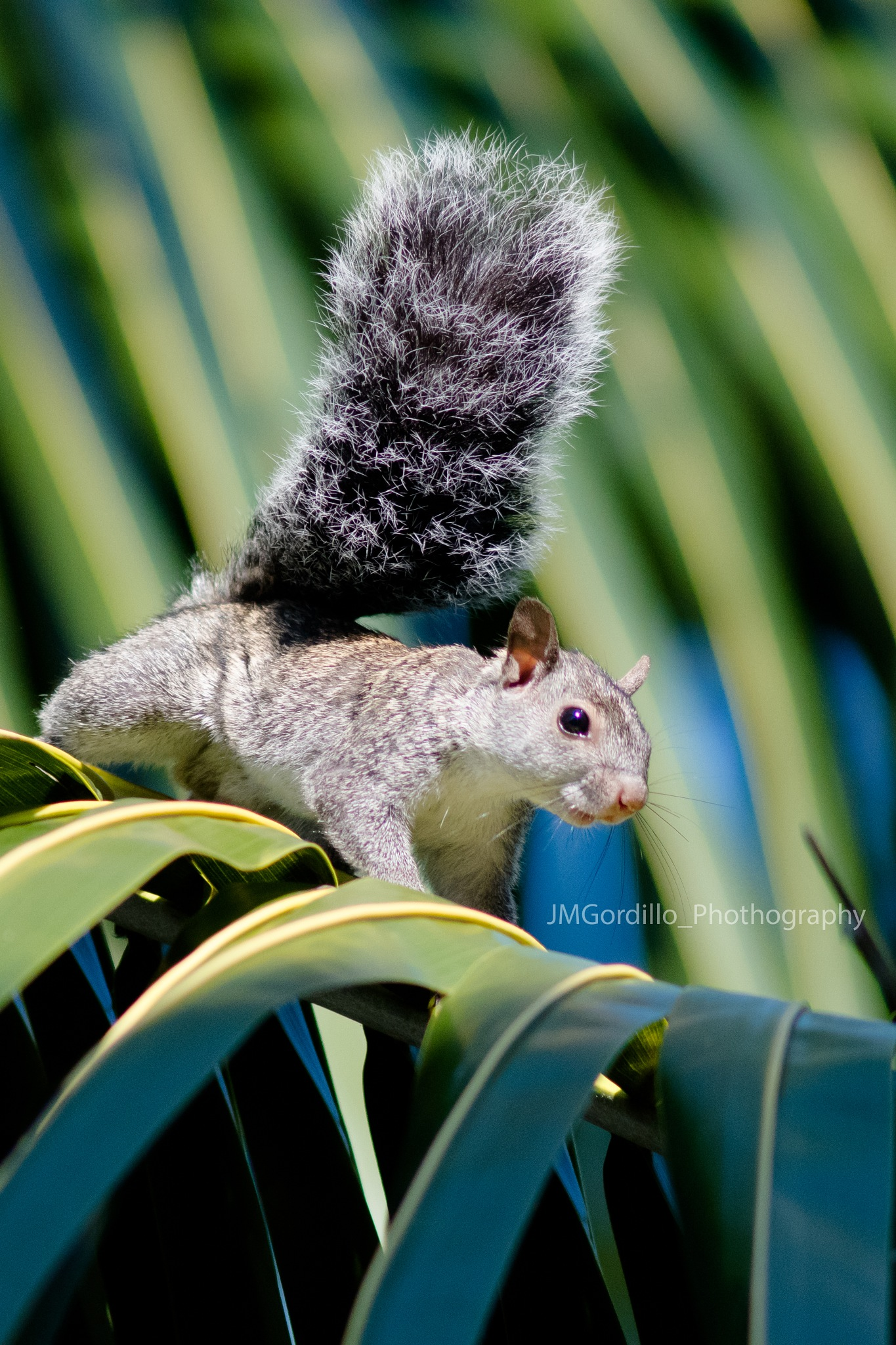 Squirrel  by Javier Martínez Gordillo
