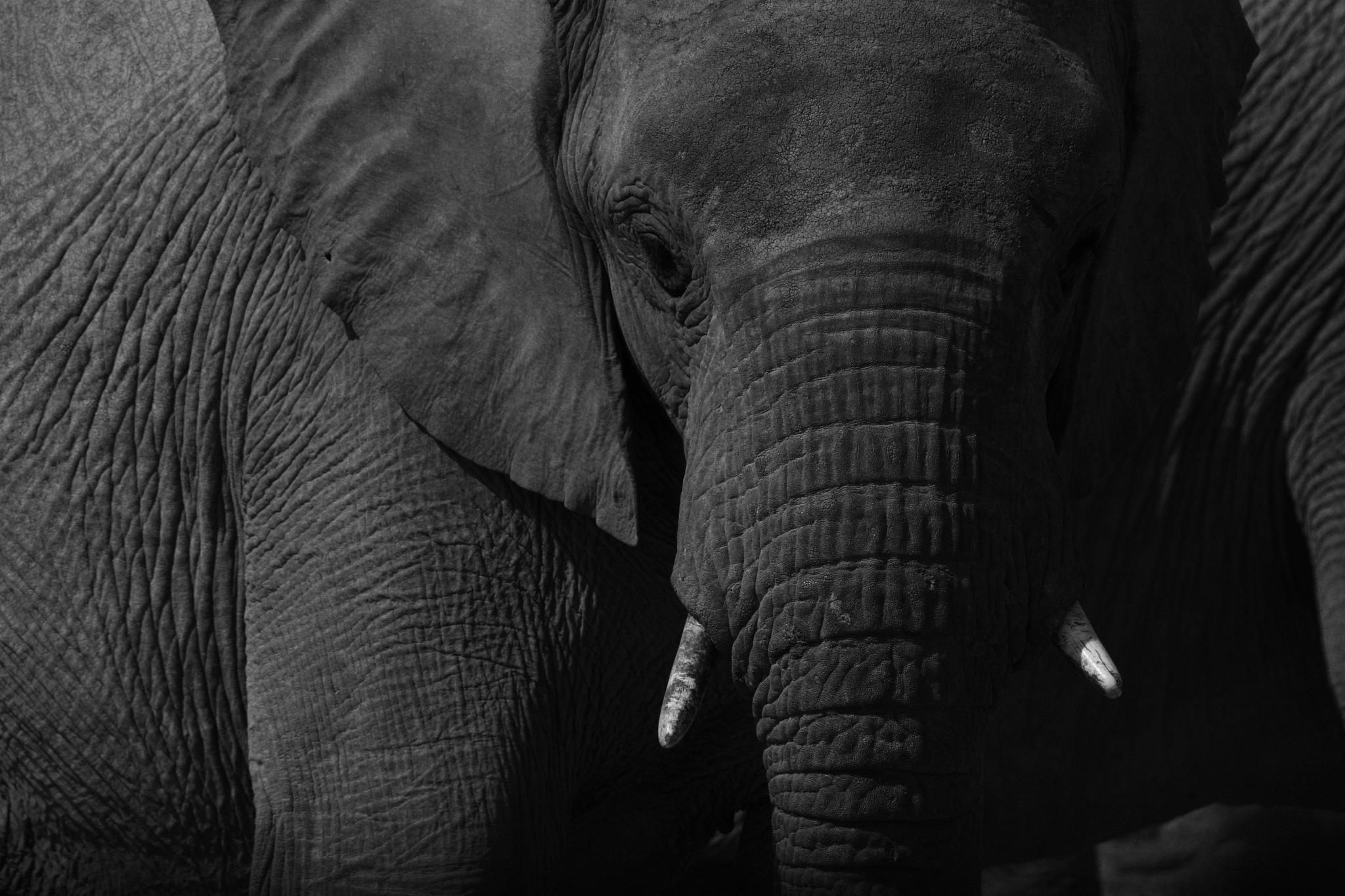 b & w elephant  by Marianna the fish