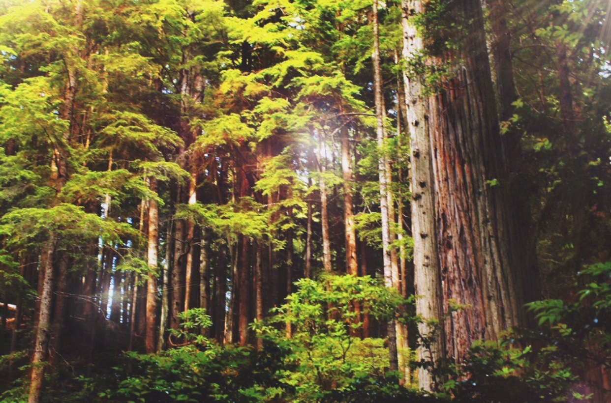 Redwood Forest by Samantha Ayres