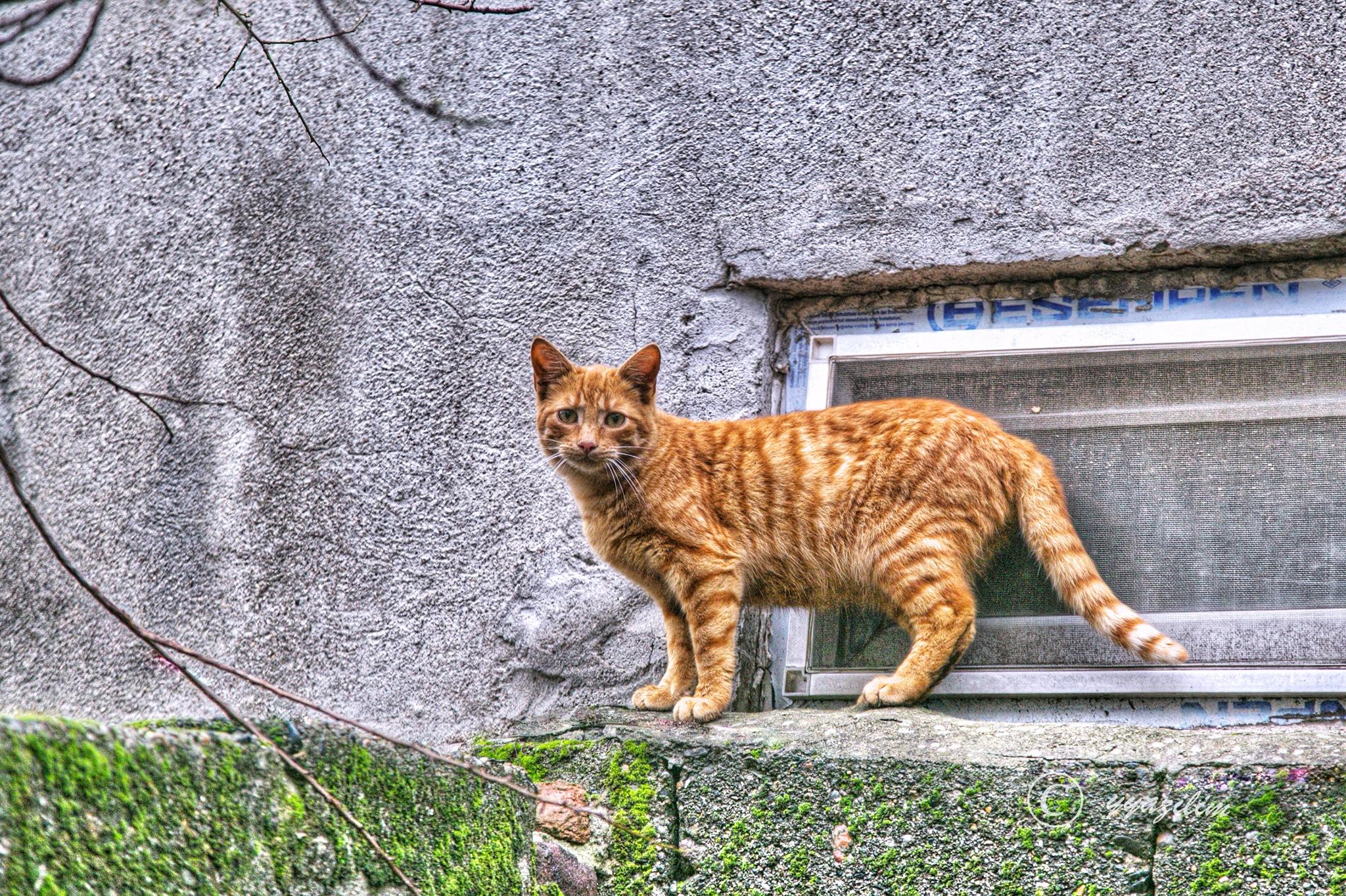 Duvardaki sarı kedi by İbrahim YILDIZ