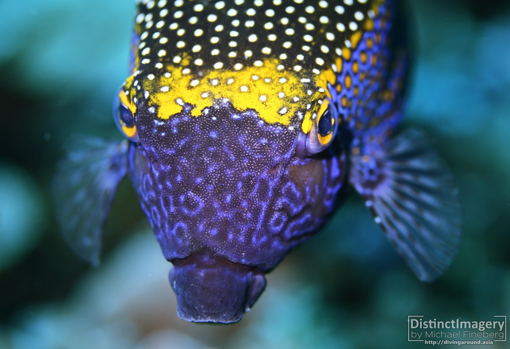 Spotted boxfish (Ostracion meleagris) by Diving Around Asia