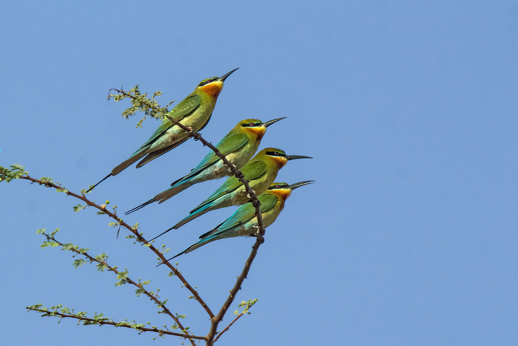Blue Tailled Bee Eaters by Ramnish Geer