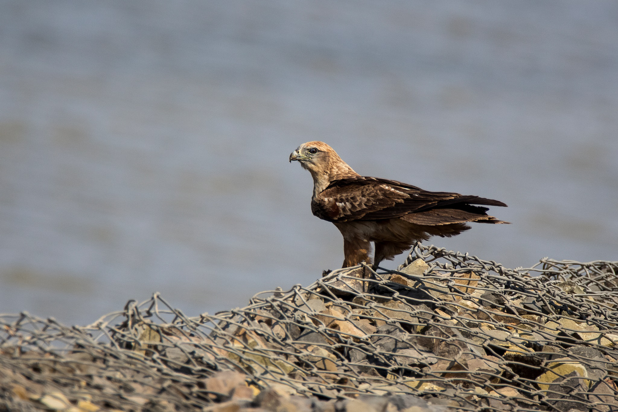 Long Legged Buzzard by Ramnish Geer