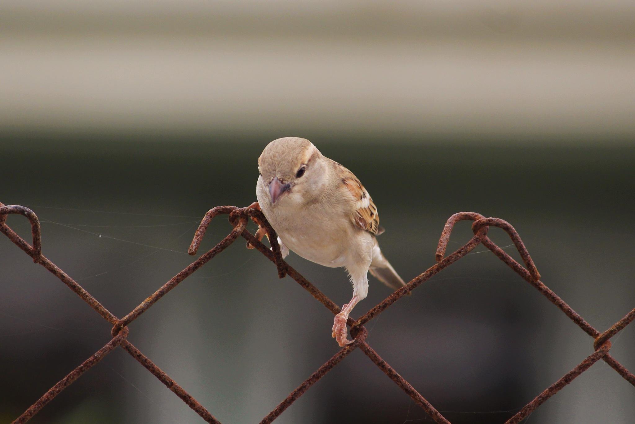 Sparrow by Kirtan Mankad