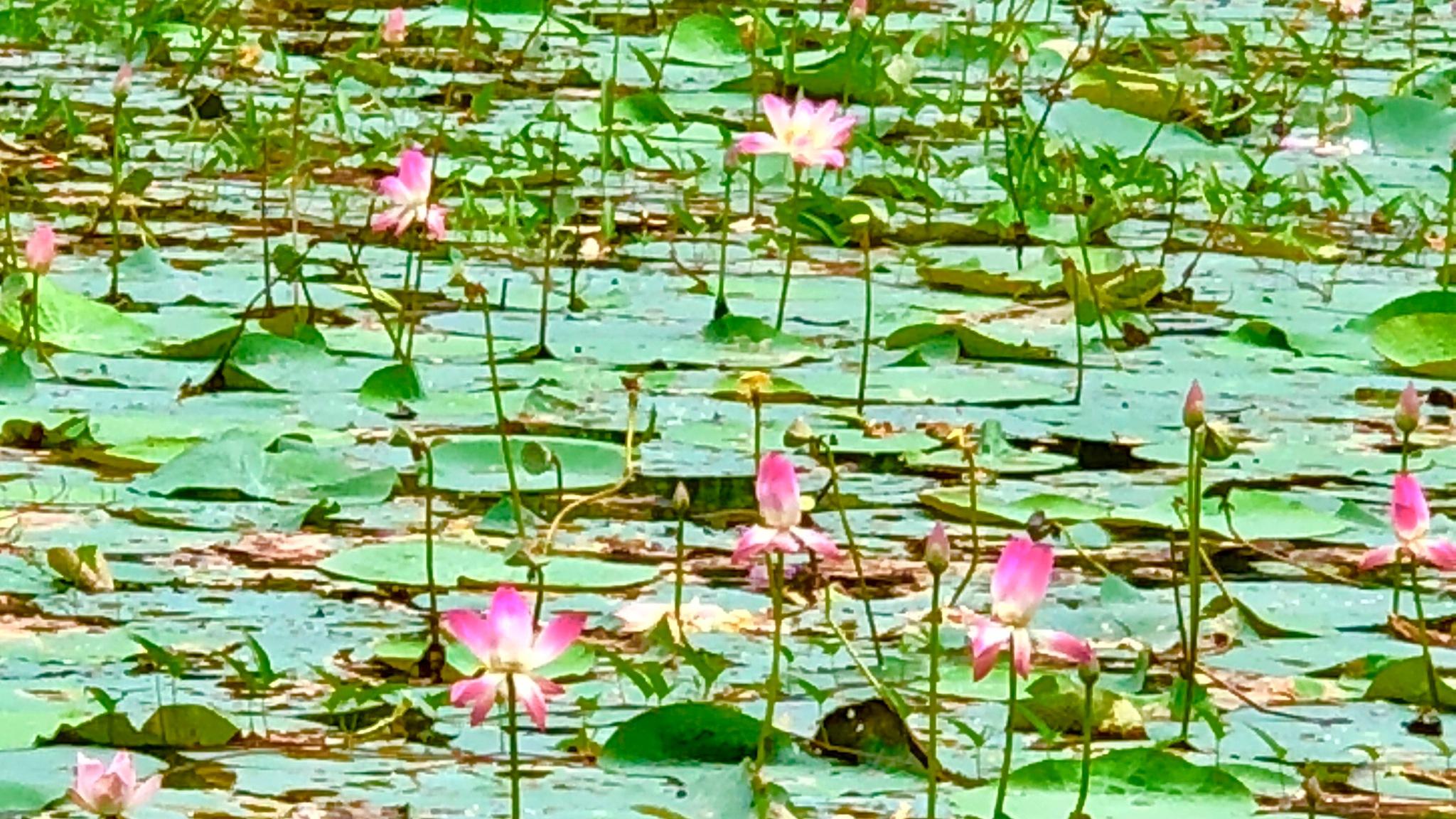 Lotus  by nafizmoni