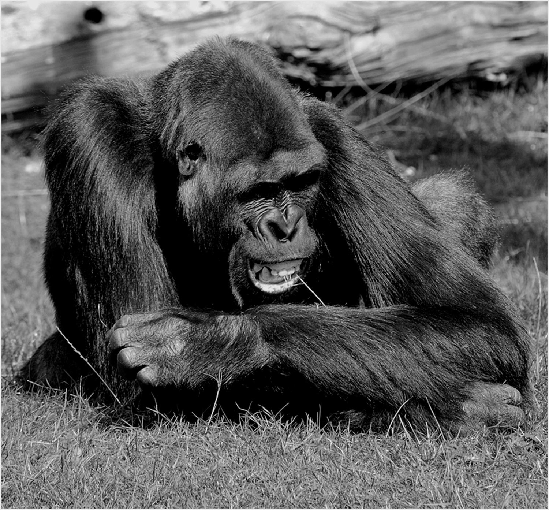gorilla by De Boever Luc