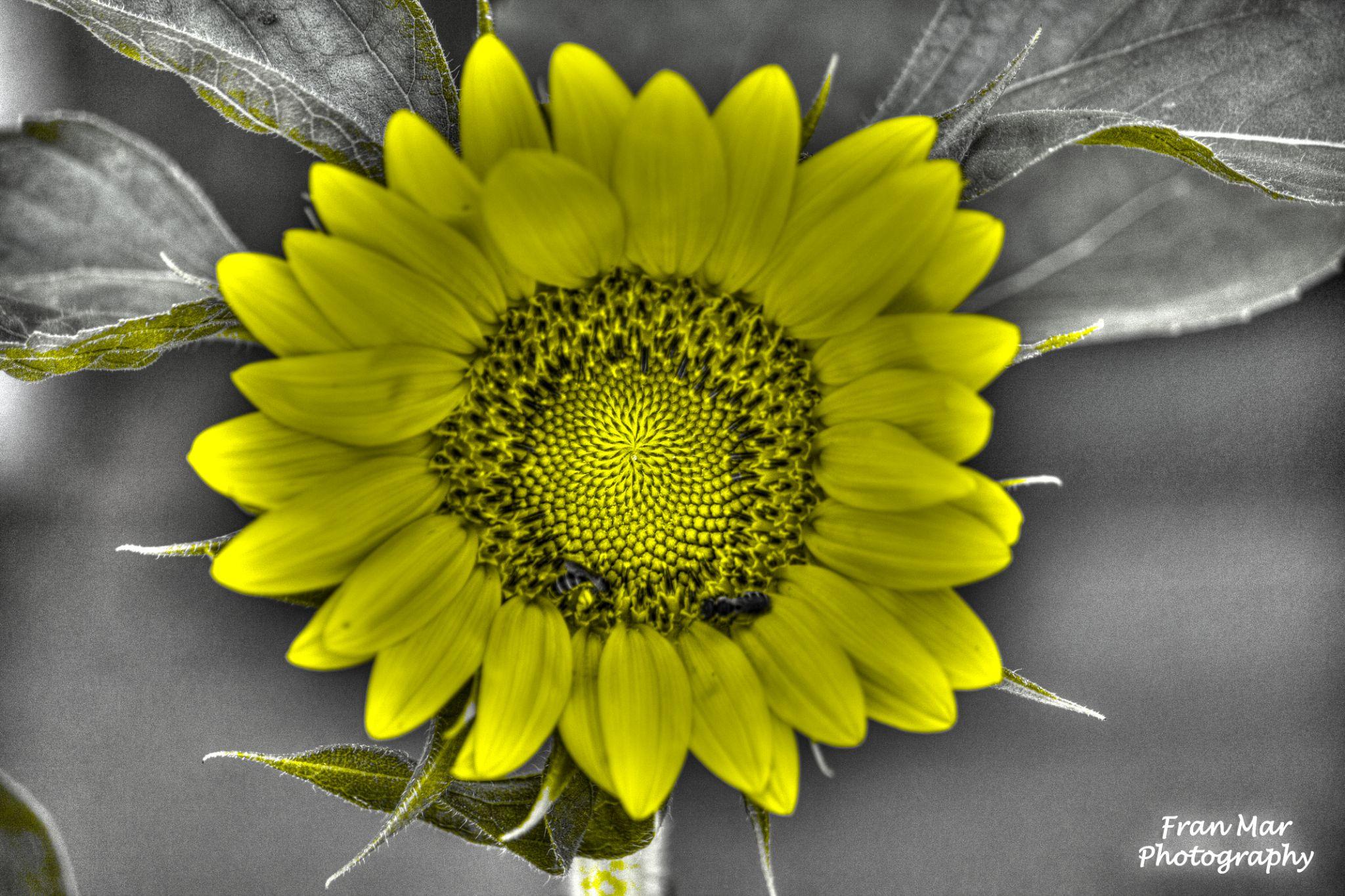 Sunflower by Meg Francoeur