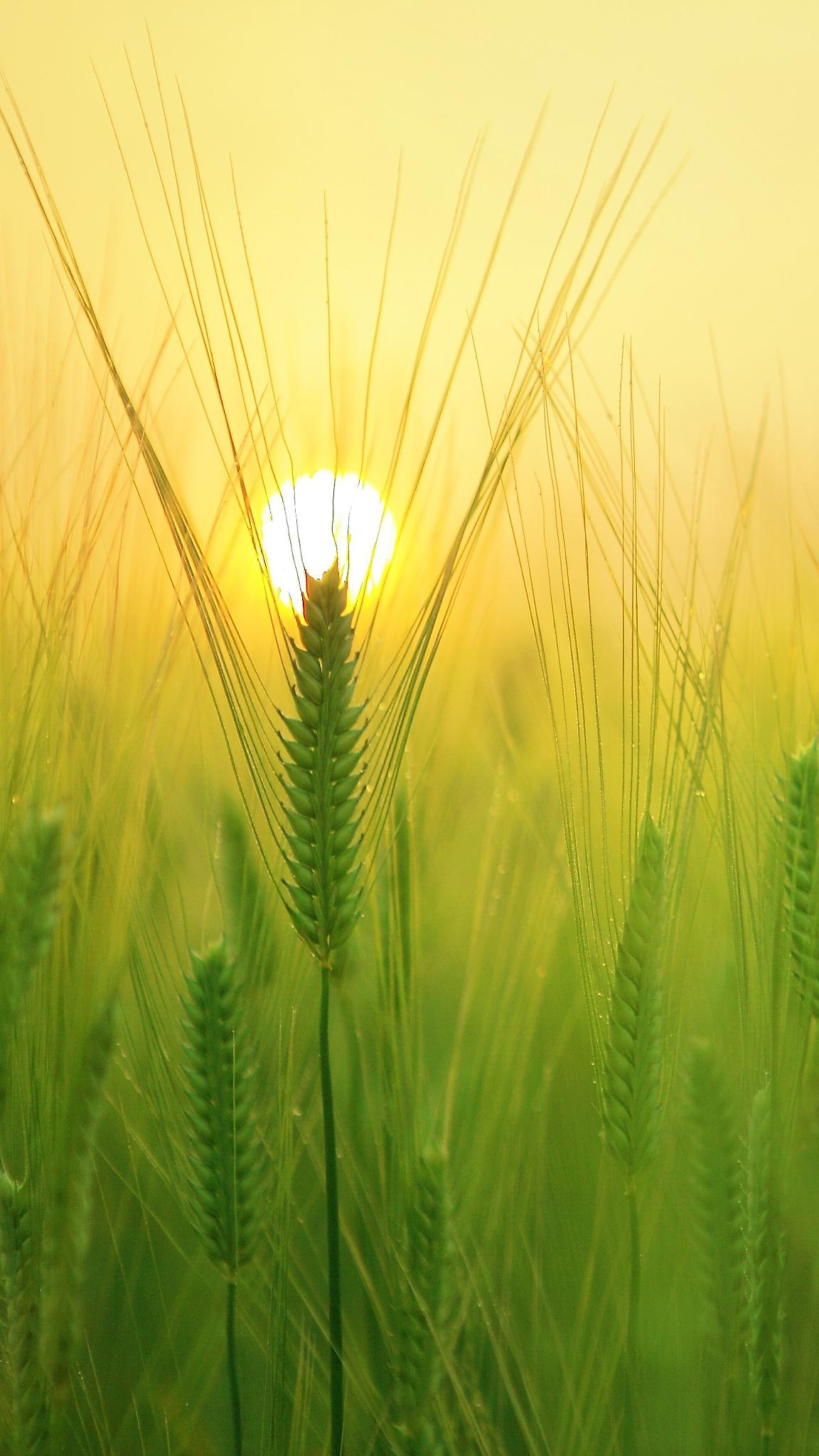 Wheat Field by Vinod Prajapati
