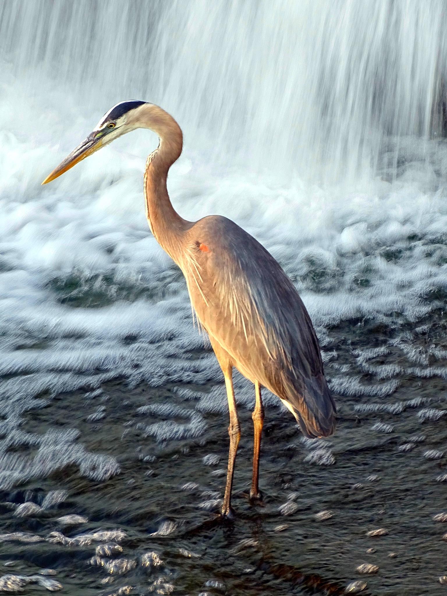 Heron at Hespeler Dam                          by Larry Adams