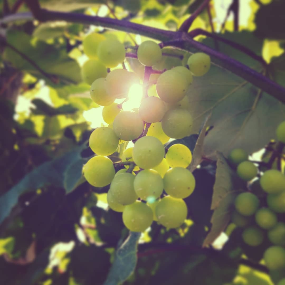 grapes by David Lincoln