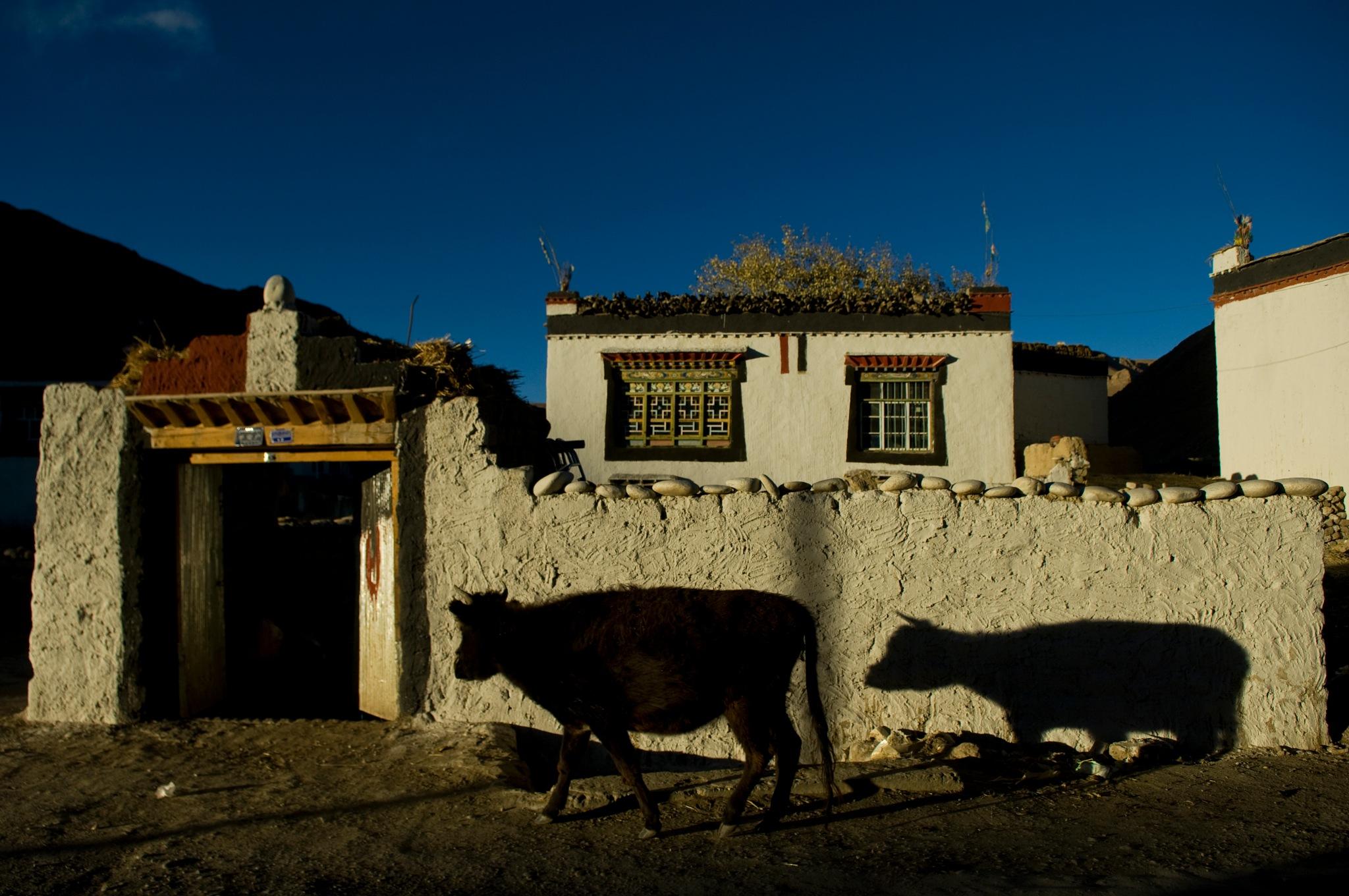 a cow and a shadow by Eran Yardeni