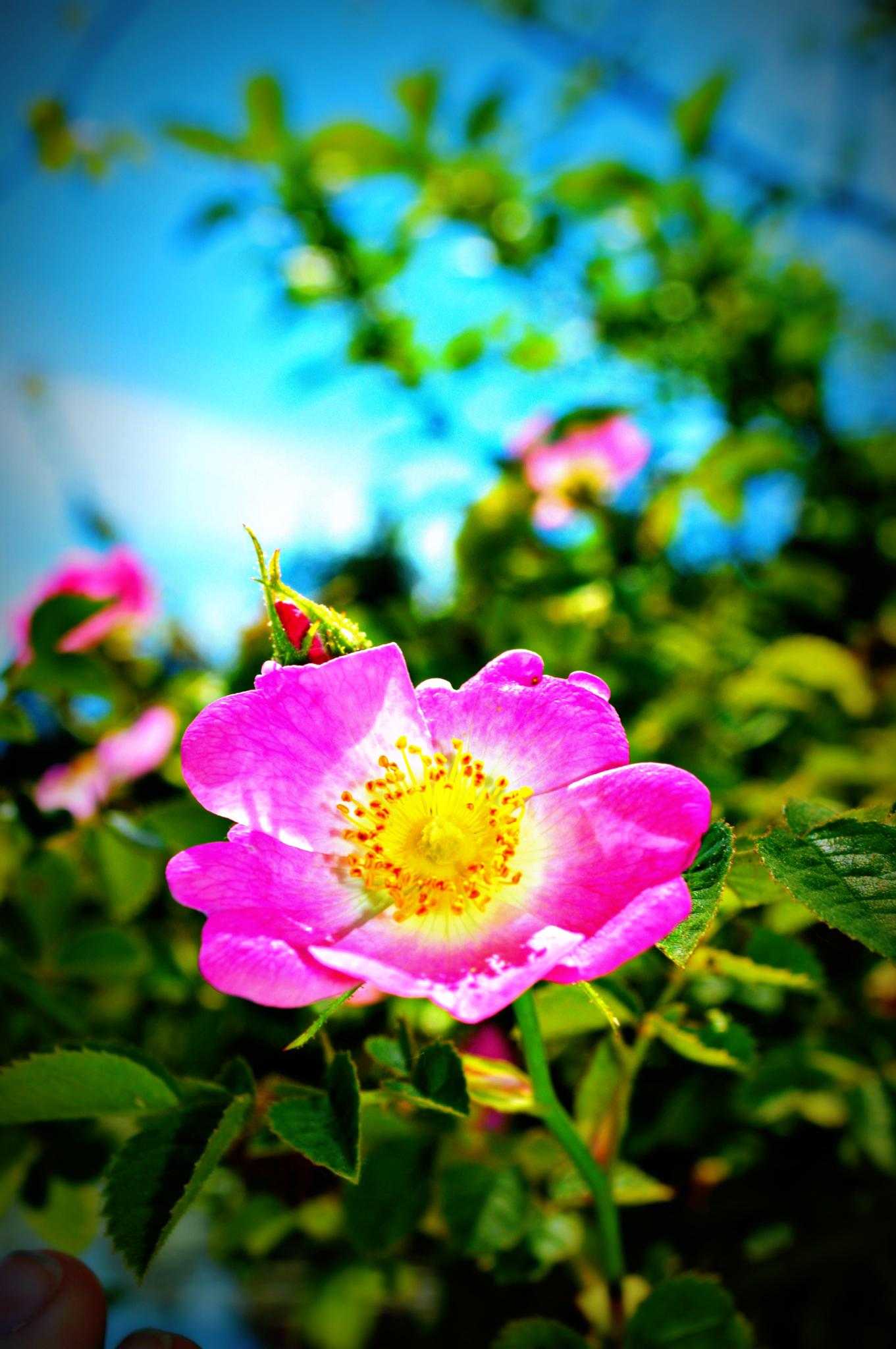 Wild roses by SashaMarie Photography