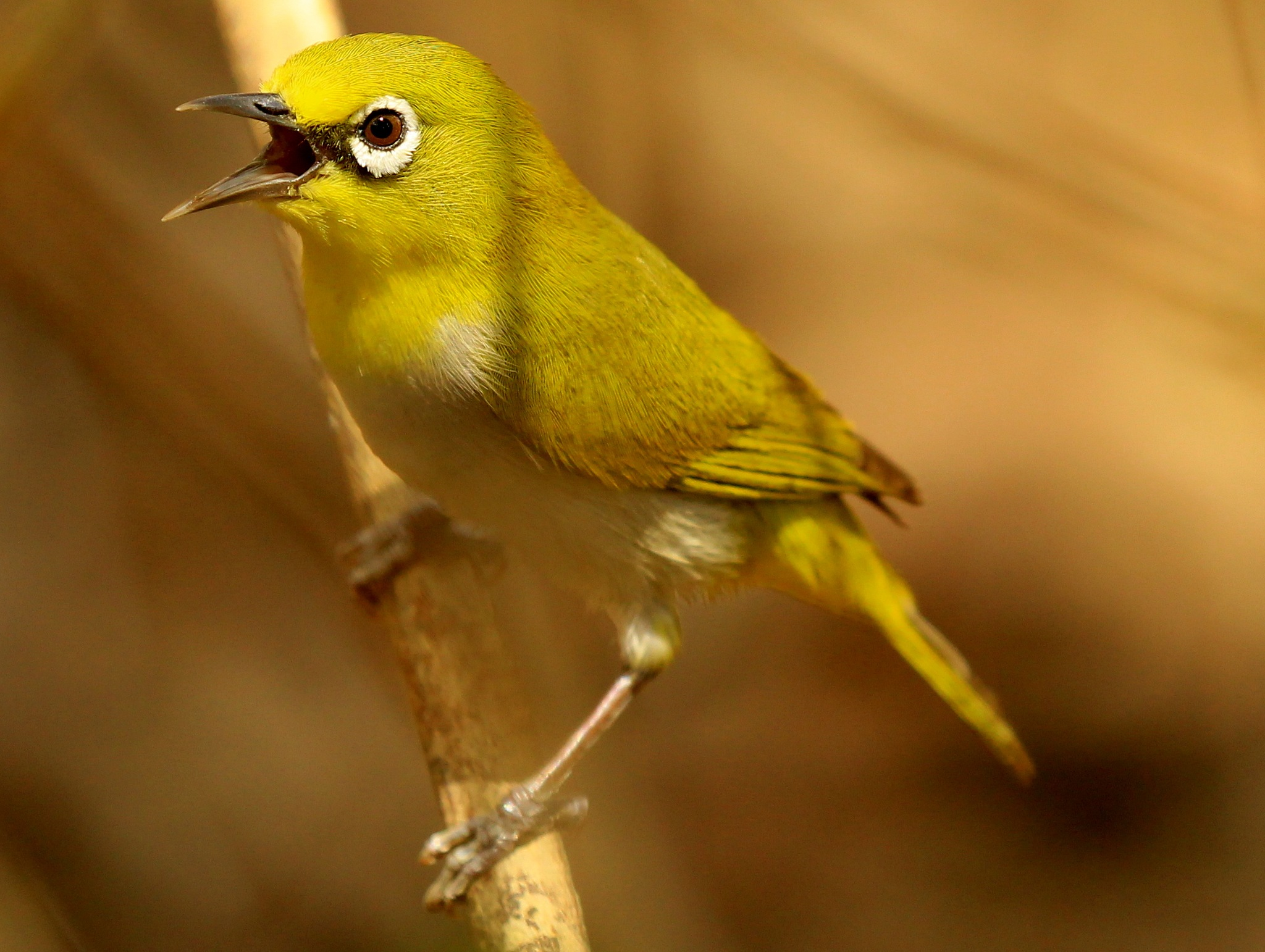 Oriental White Eye by Atul Pandey